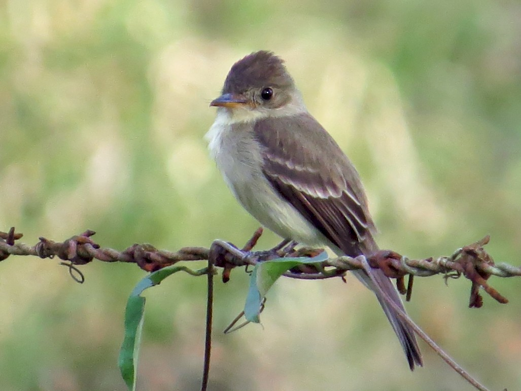 Tropical Pewee - Warren Bielenberg