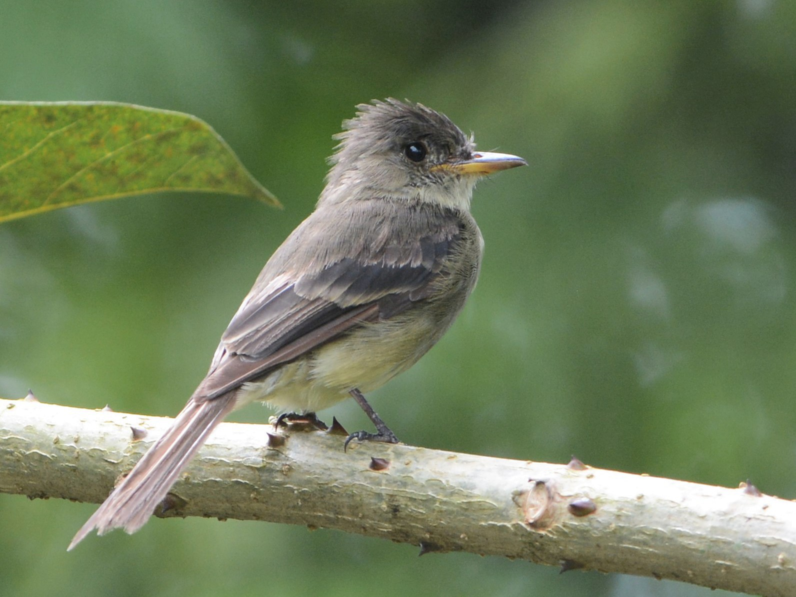 Tropical Pewee - David Hollie