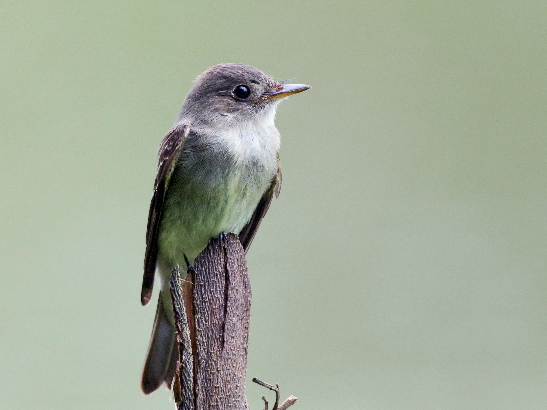 Tropical Pewee - PAUL PICKERING