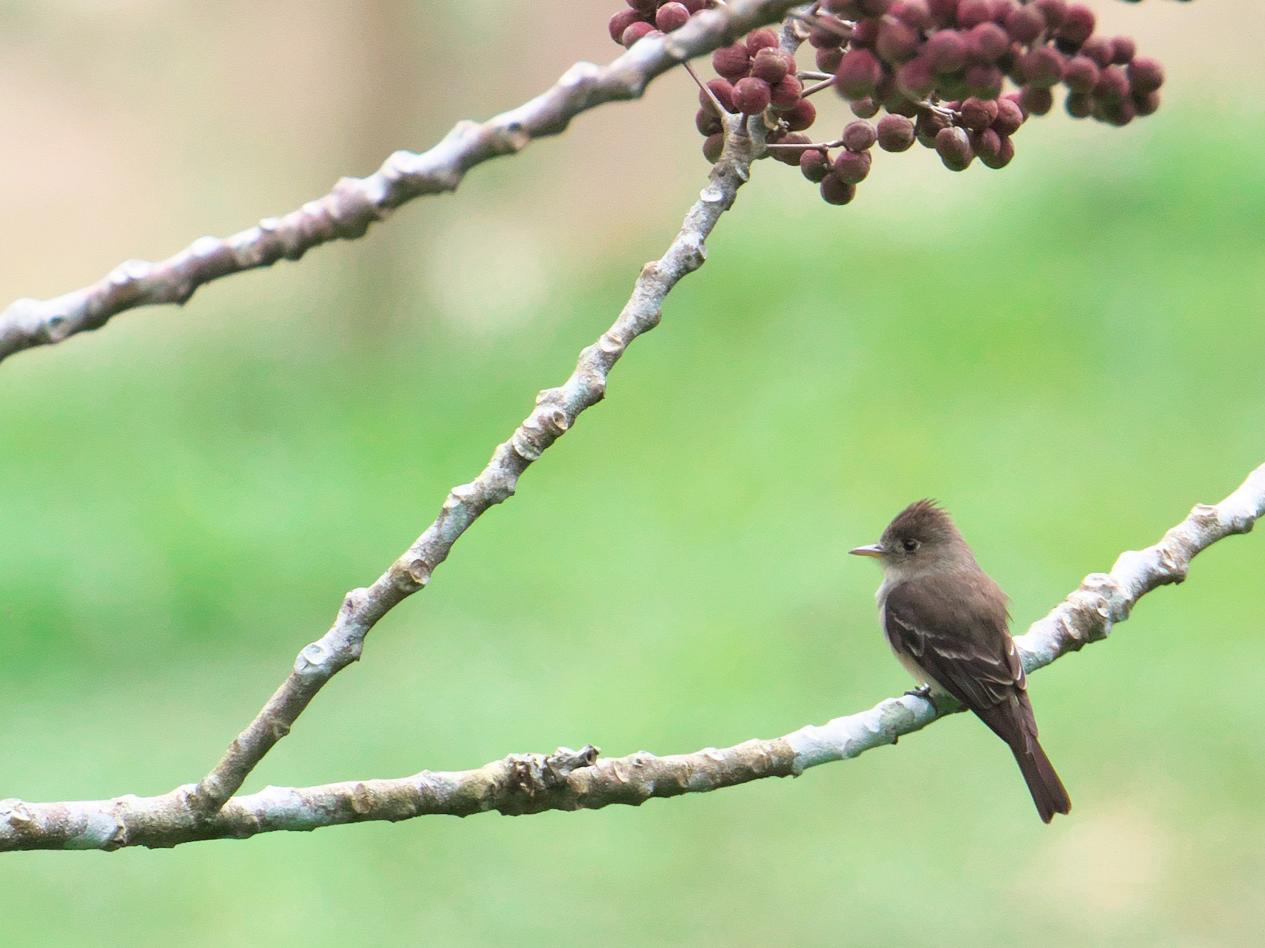 Tropical Pewee - Paul Tavares