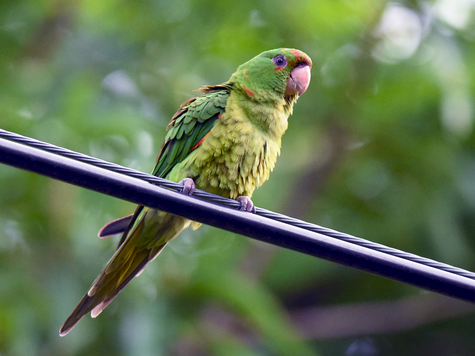 Green Parakeet - Mike Charest