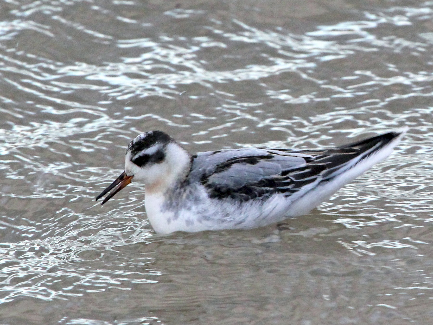 Red Phalarope - Marc North