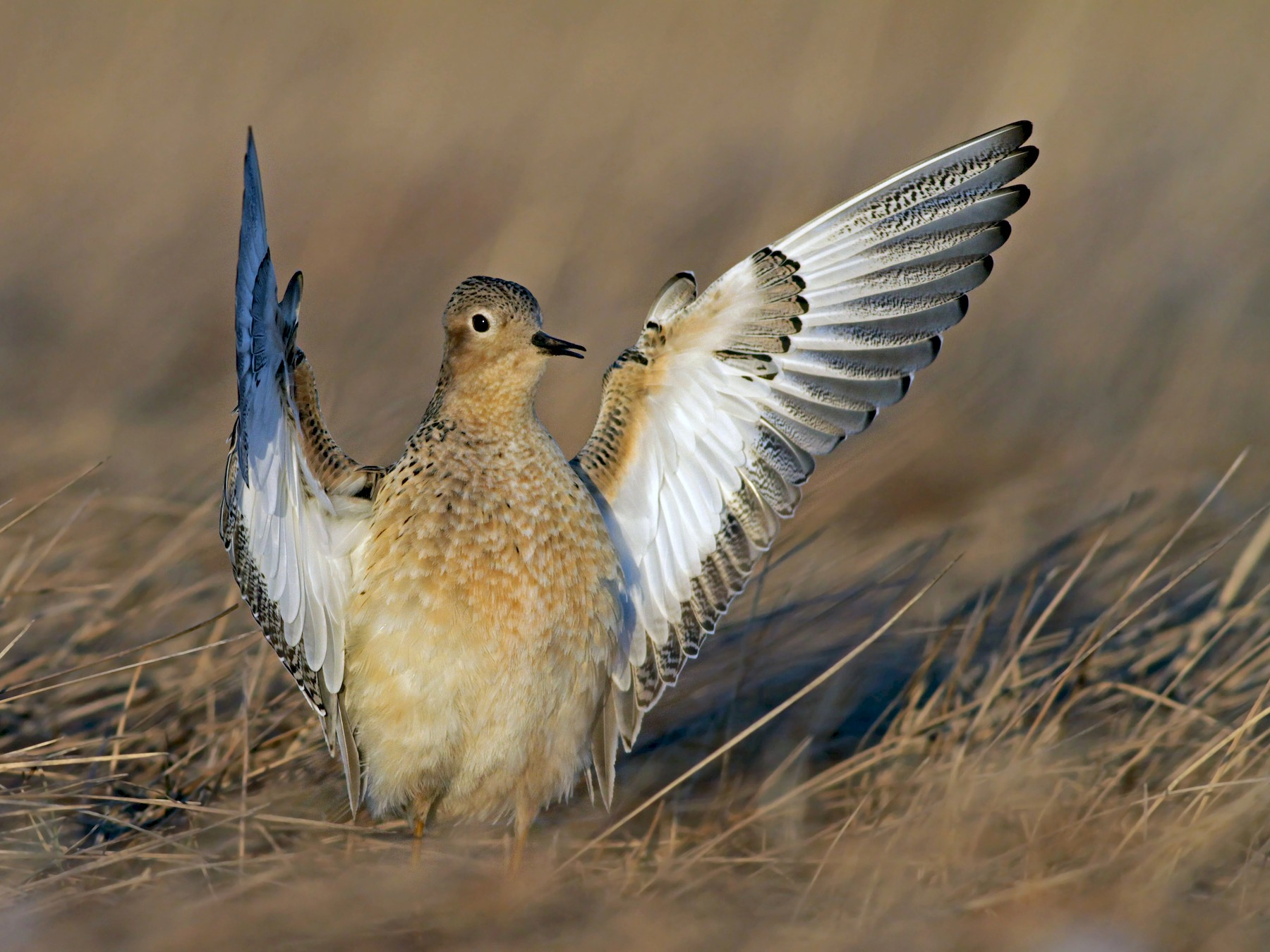 Buff-breasted Sandpiper - Ian Davies