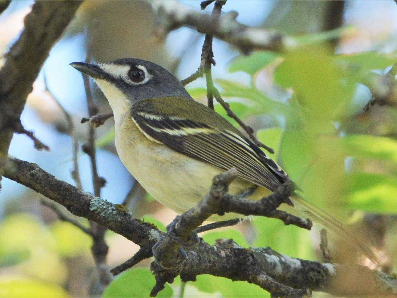 Black-capped Vireo - David Hollie