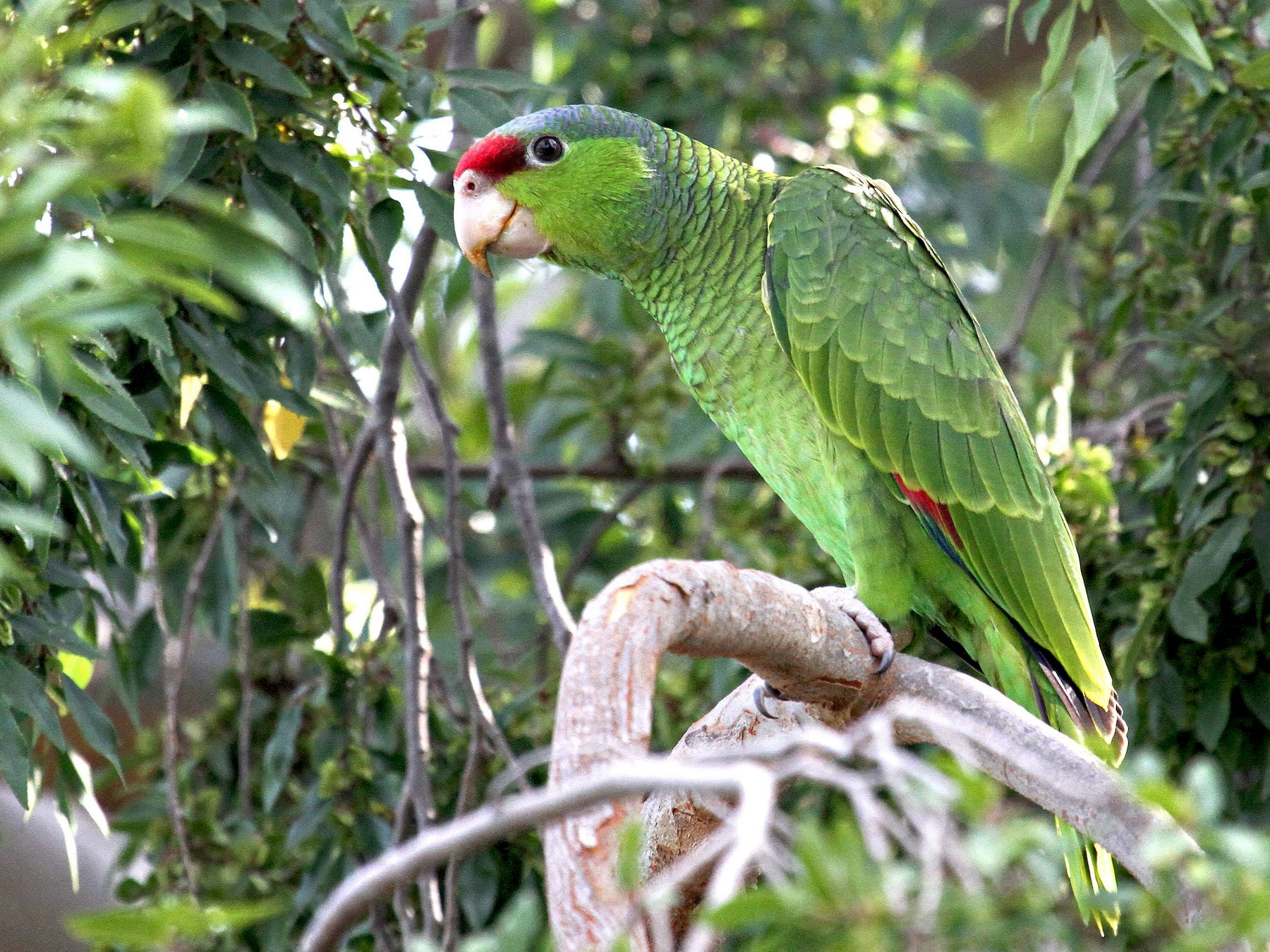 Red-crowned Parrot - Don Sterba