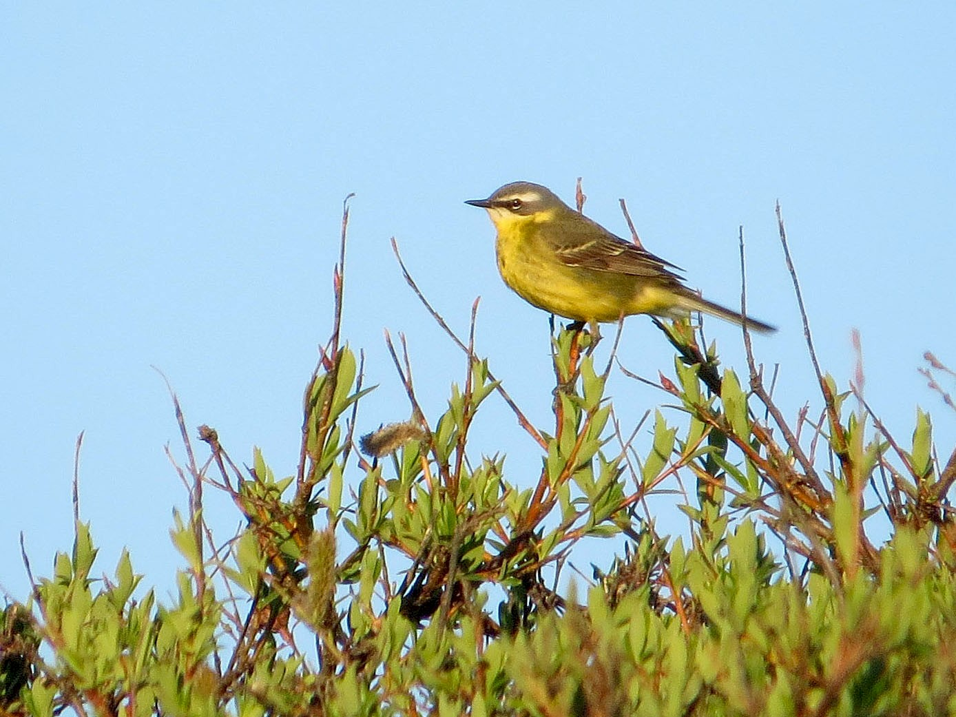 Eastern Yellow Wagtail - Jeff Culler