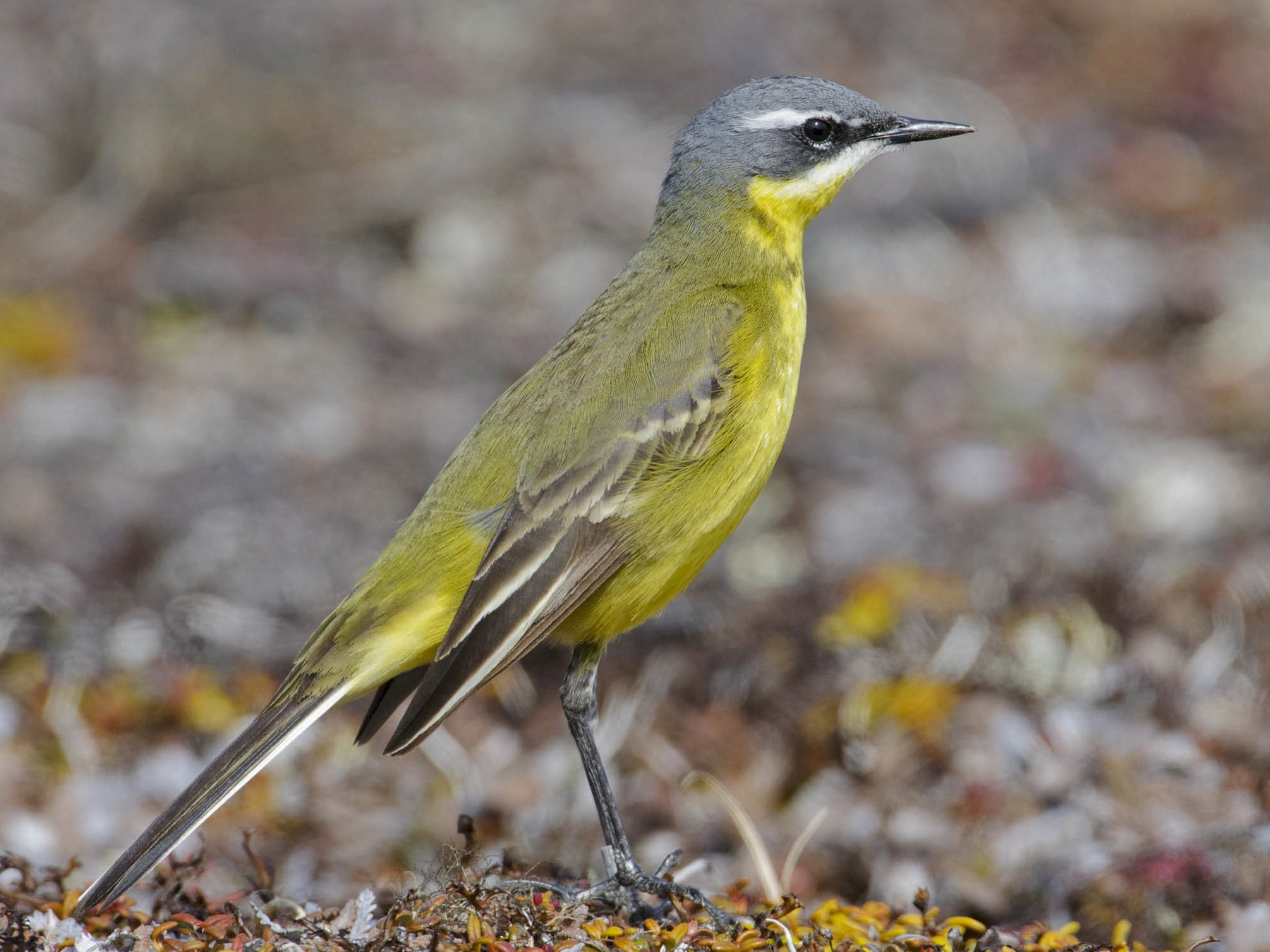 Eastern Yellow Wagtail - Gerrit Vyn