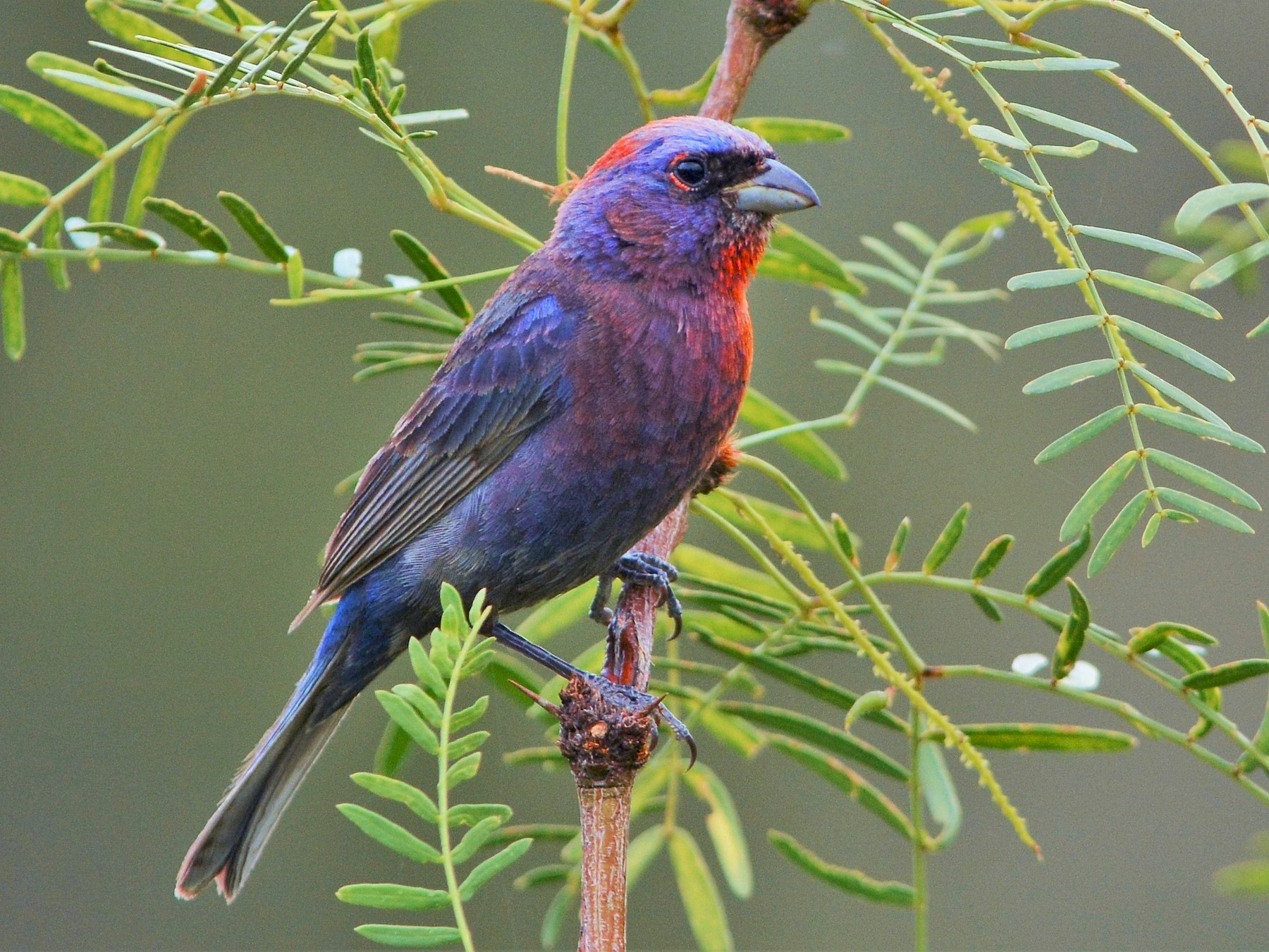 Varied Bunting - David Hollie