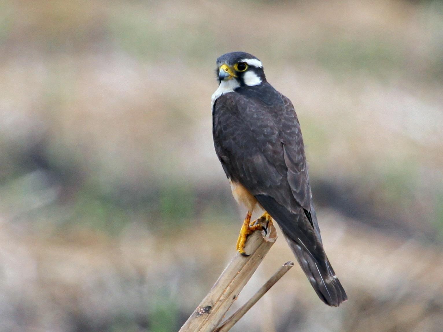 Aplomado Falcon - Mark Faherty