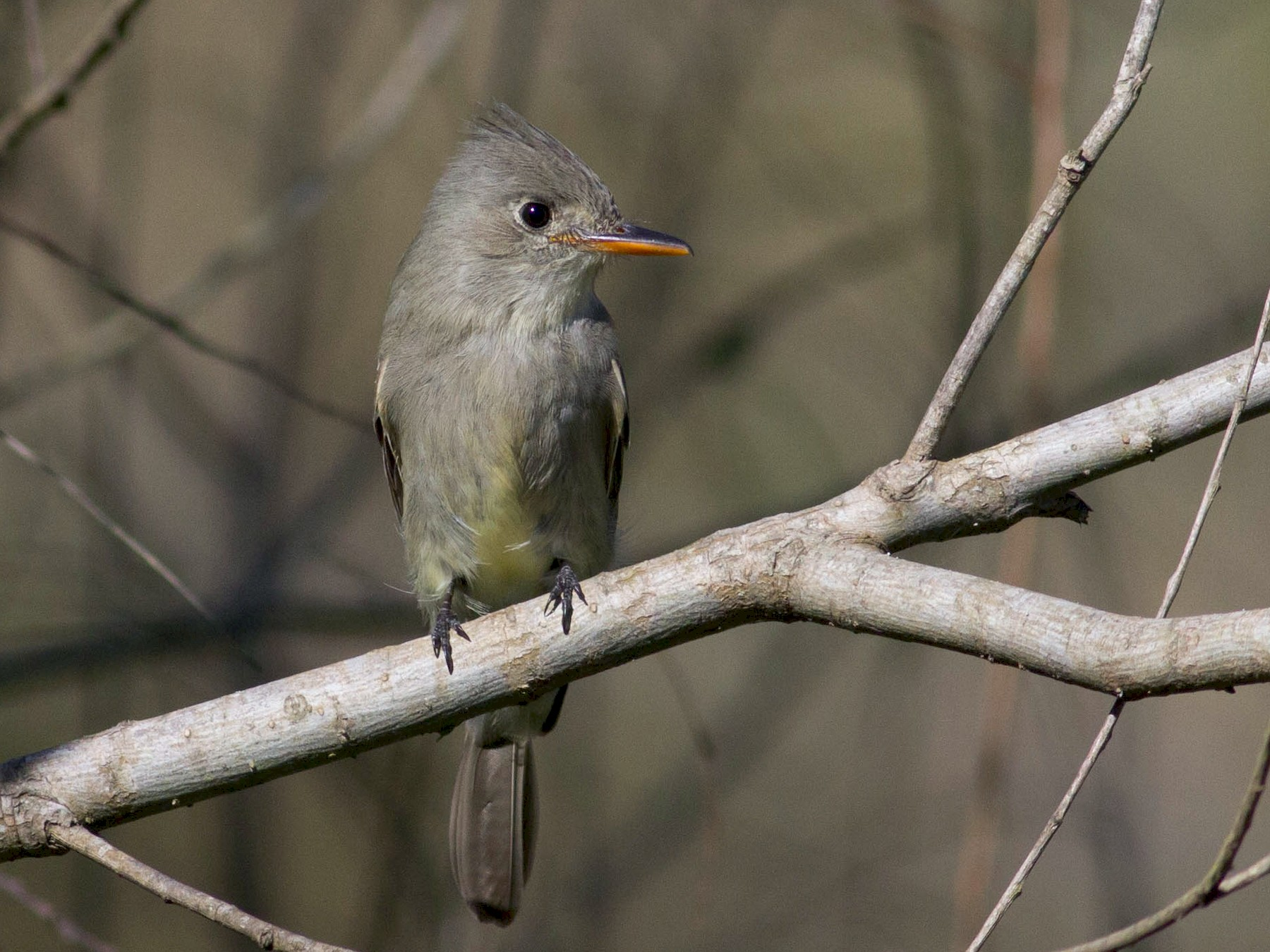 Greater Pewee - Johnny Bovee