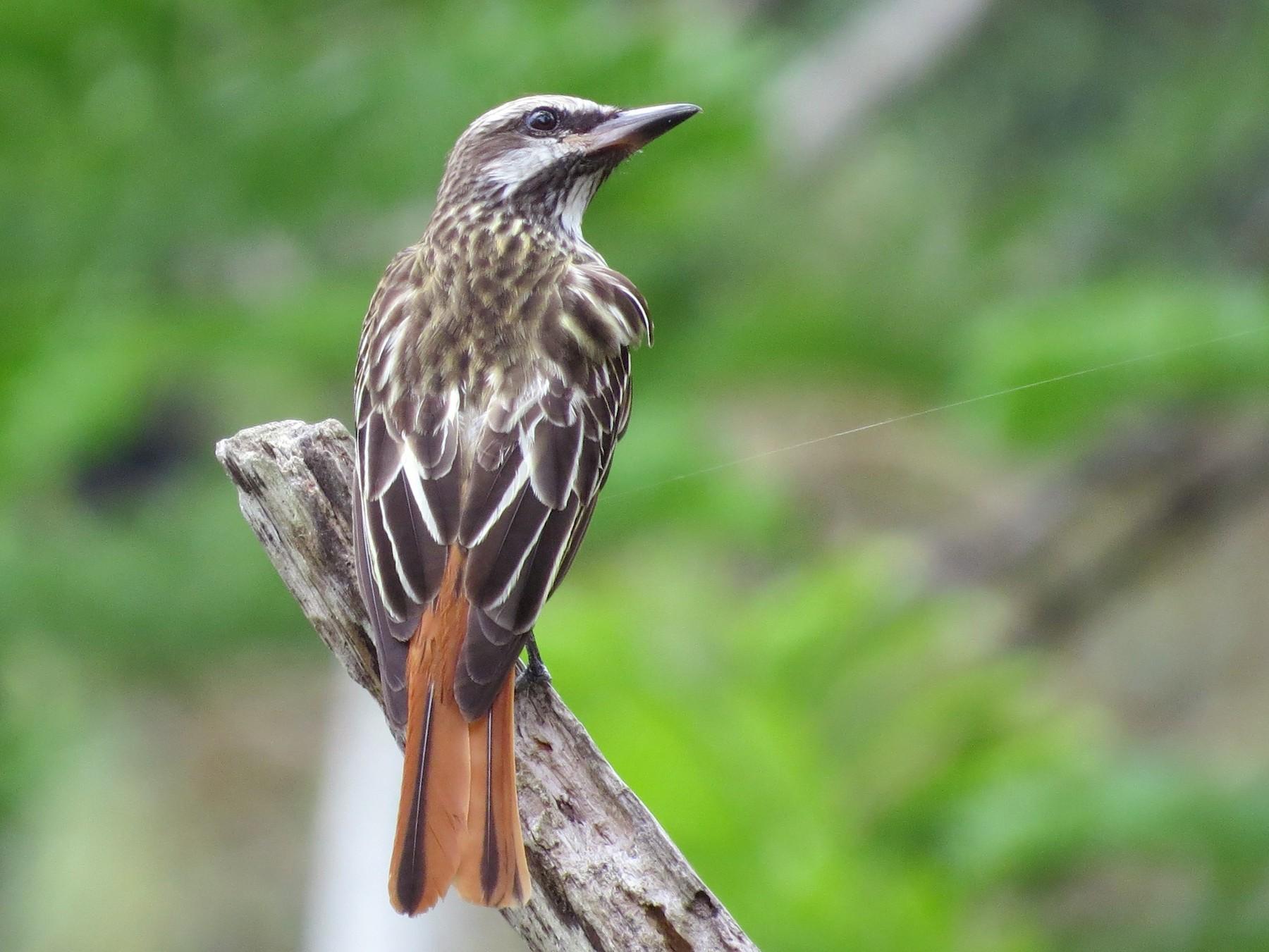 Sulphur-bellied Flycatcher - Oliver  Komar