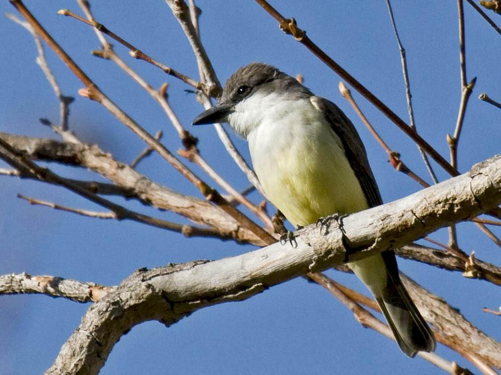 Thick-billed Kingbird - Greg Gillson