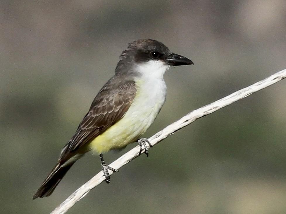 Thick-billed Kingbird - Craig Thayer