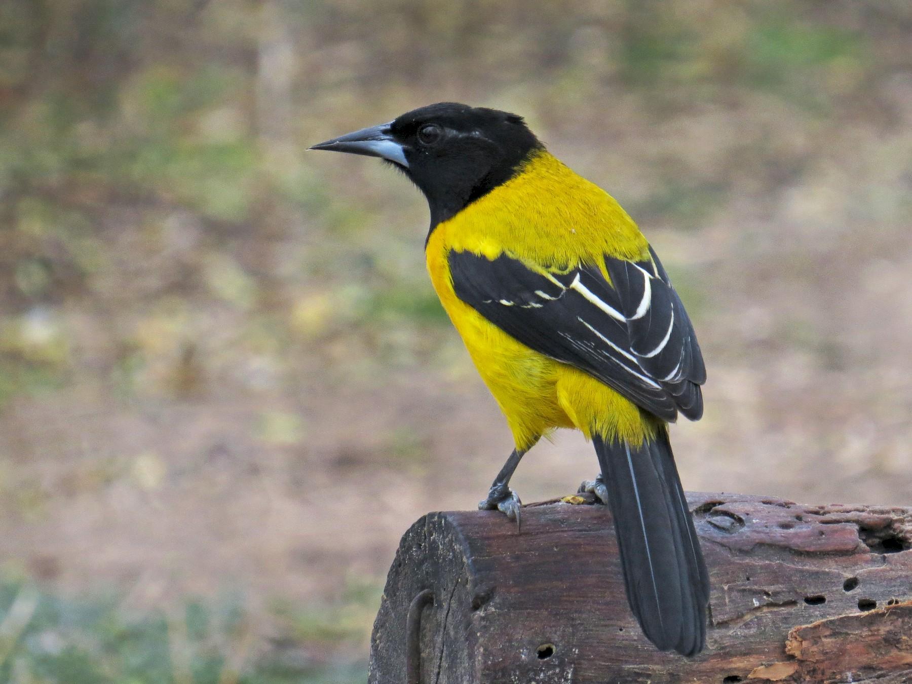 Audubon's Oriole - Henry Burton