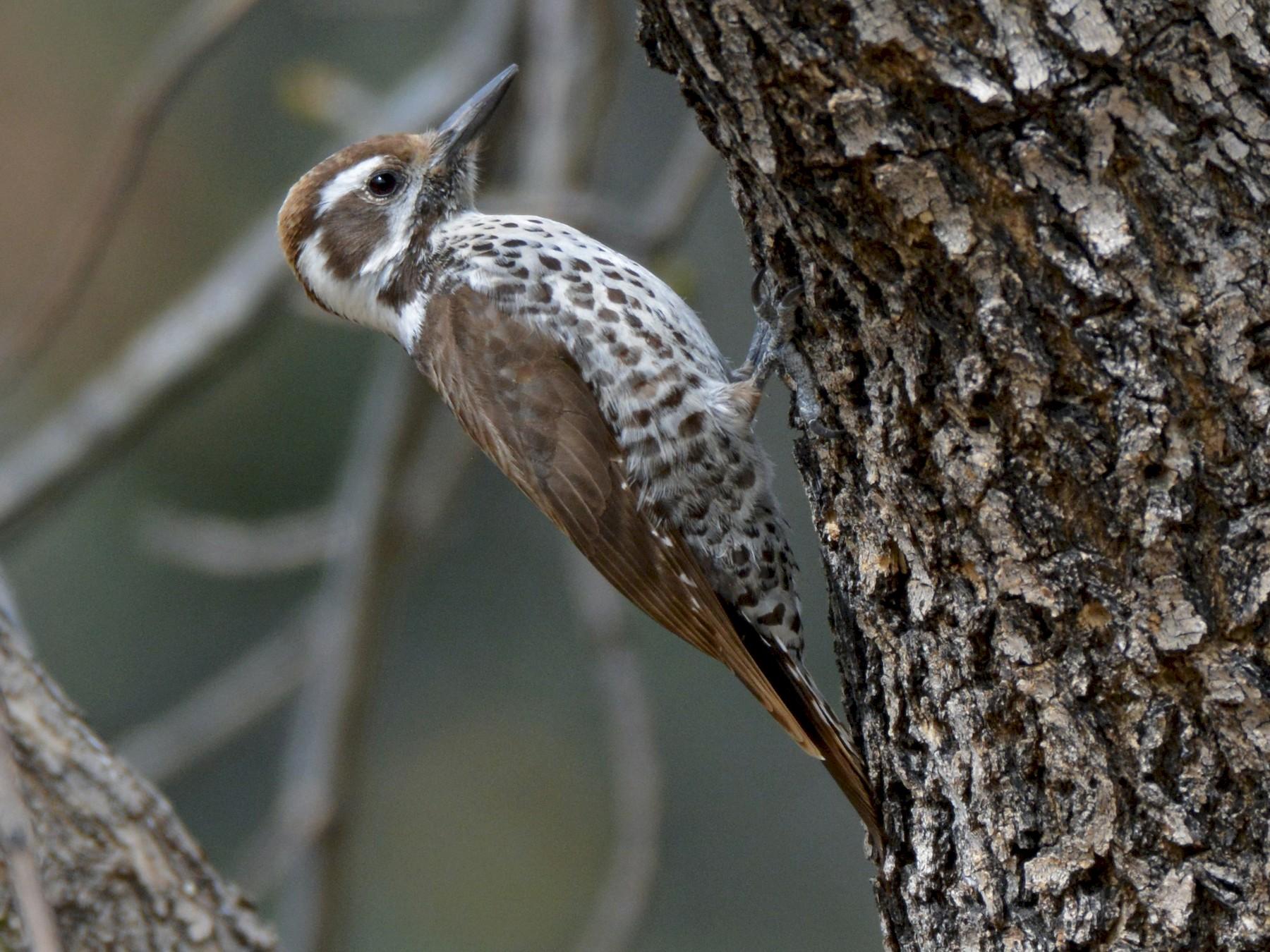 Arizona Woodpecker - Chris Rohrer