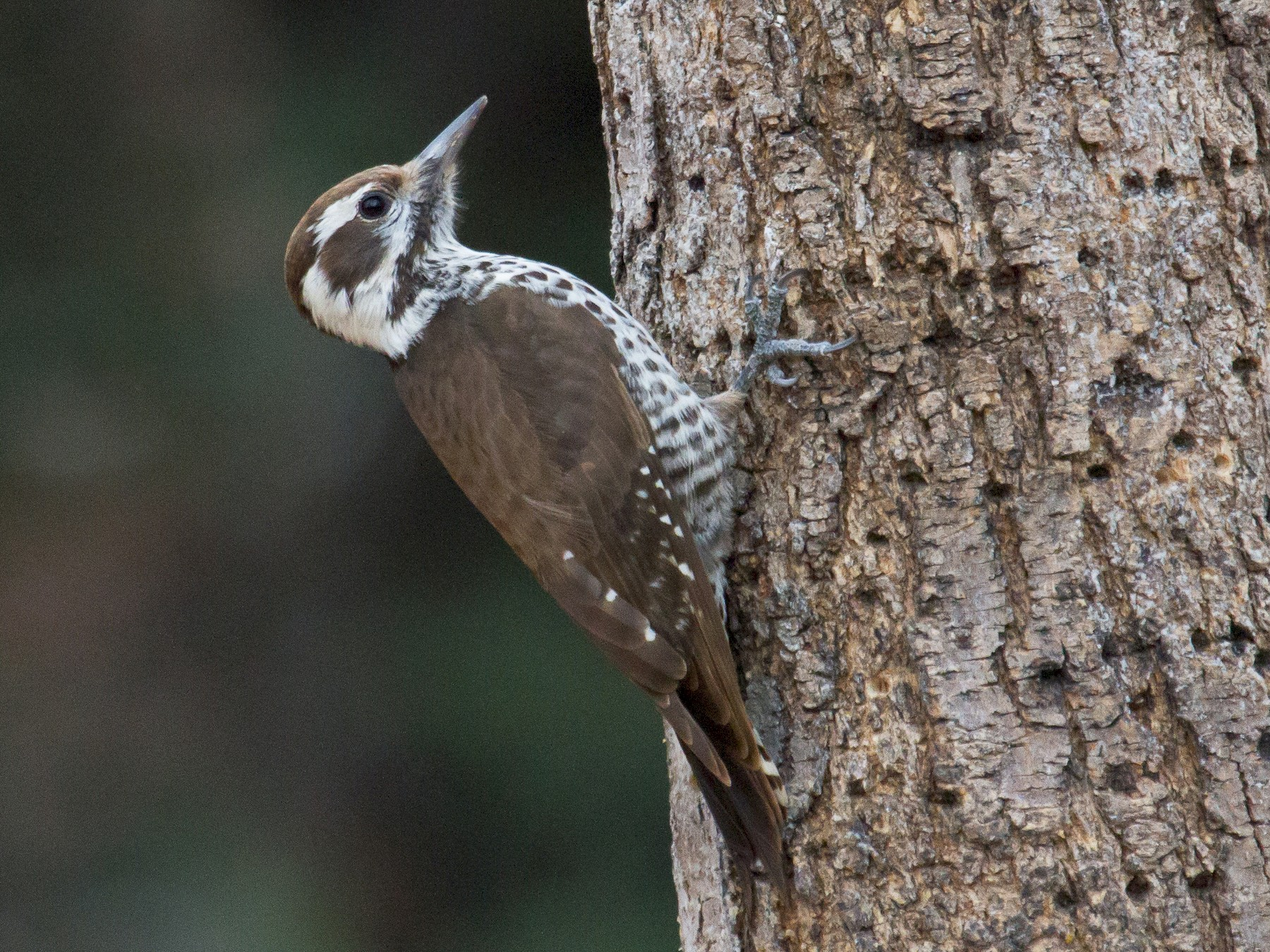 Arizona Woodpecker - Griffin Richards