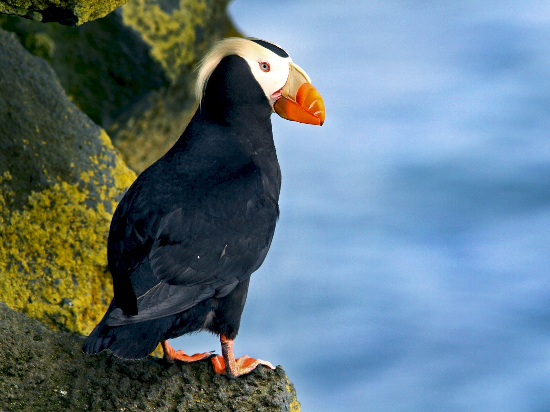 Tufted Puffin - Andrew Spencer