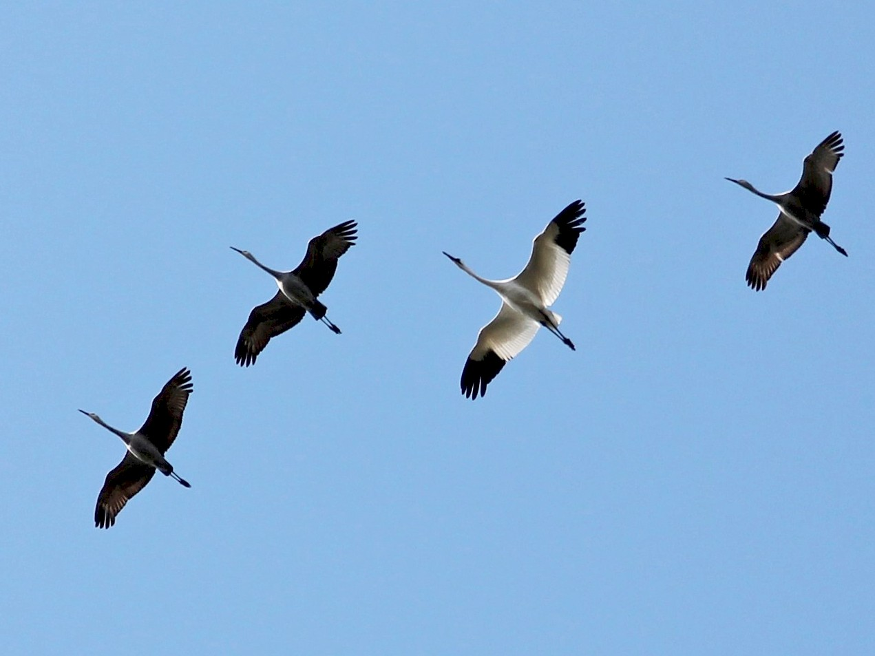 Whooping Crane - Rebekah Rylander