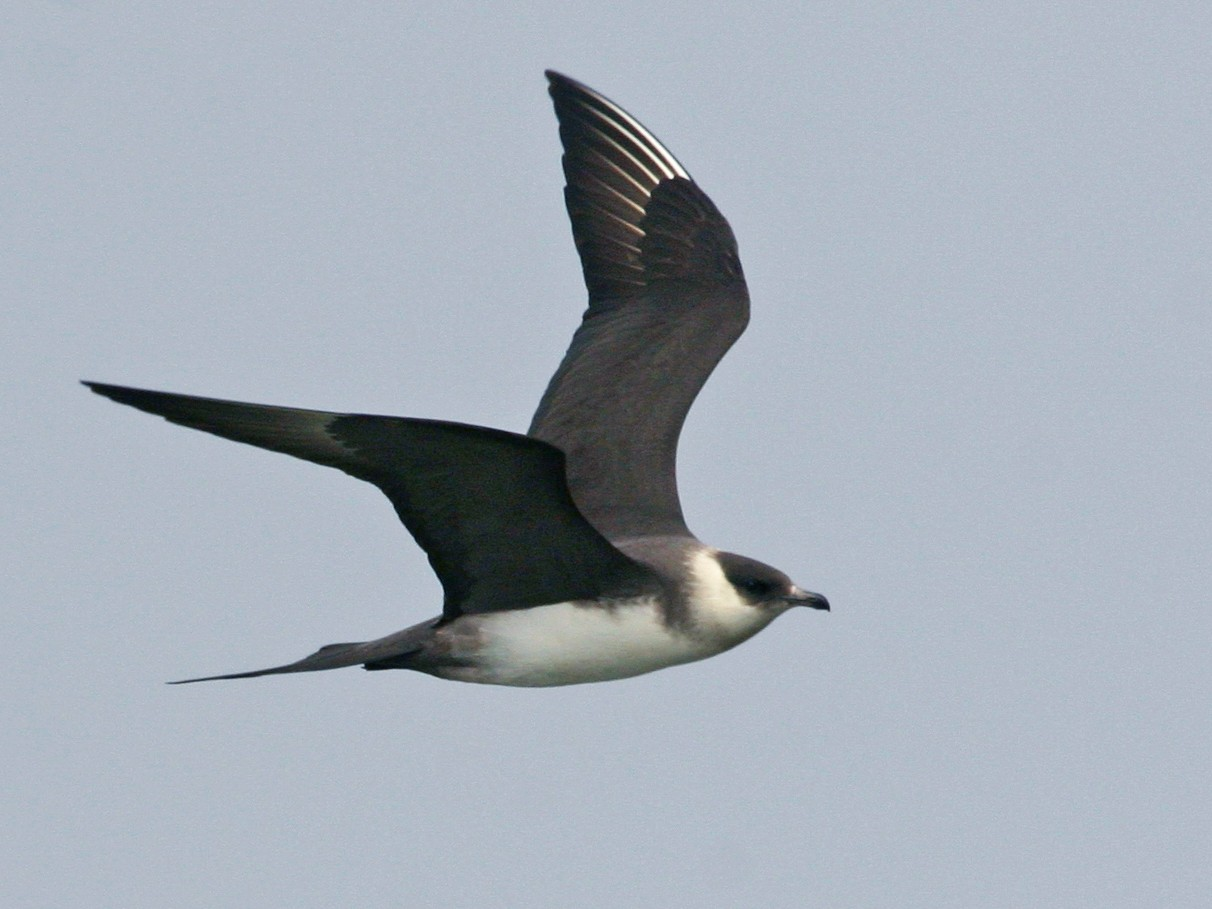 Parasitic Jaeger - Chris Wood