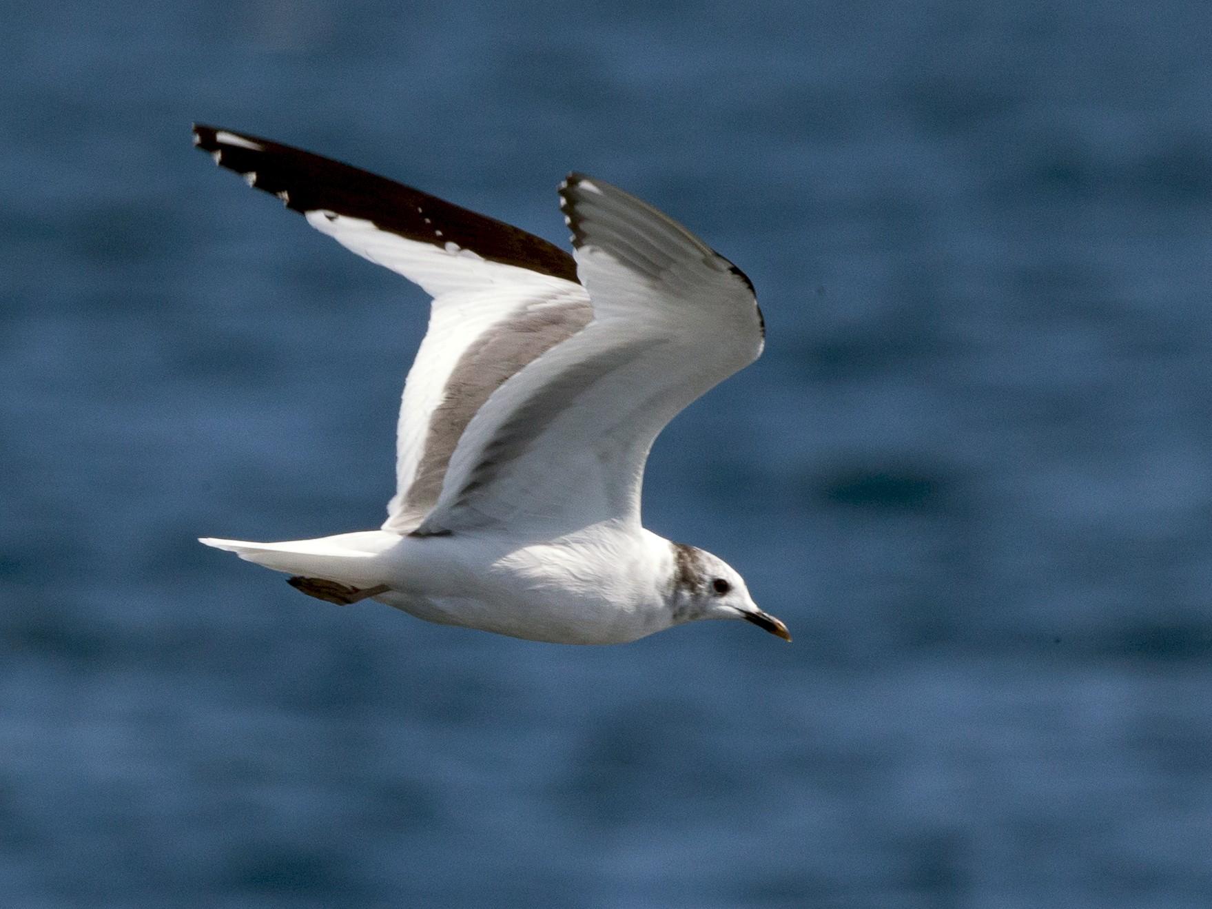Sabine's Gull - Chris Wood