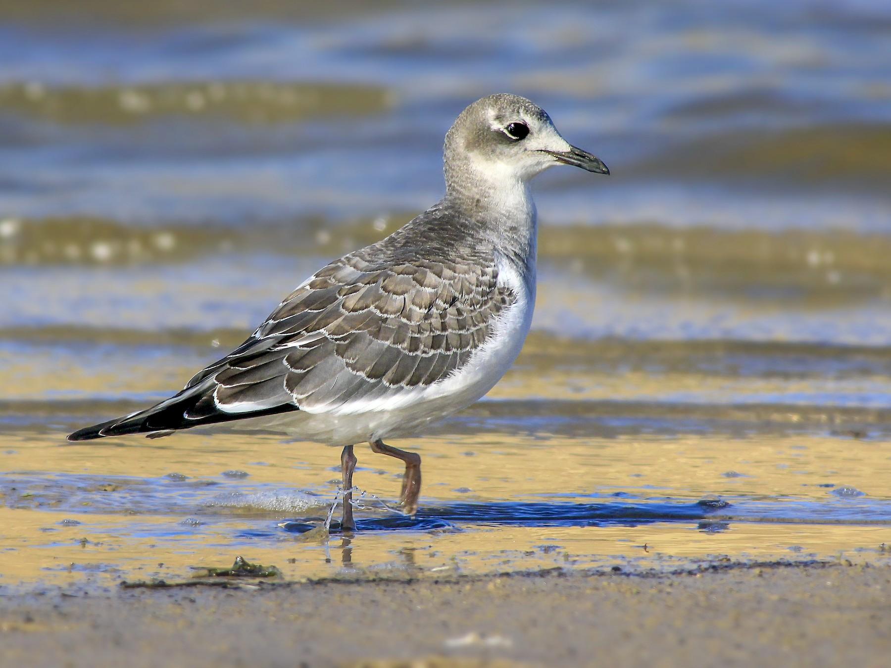 Sabine's Gull - Matthew Pendleton