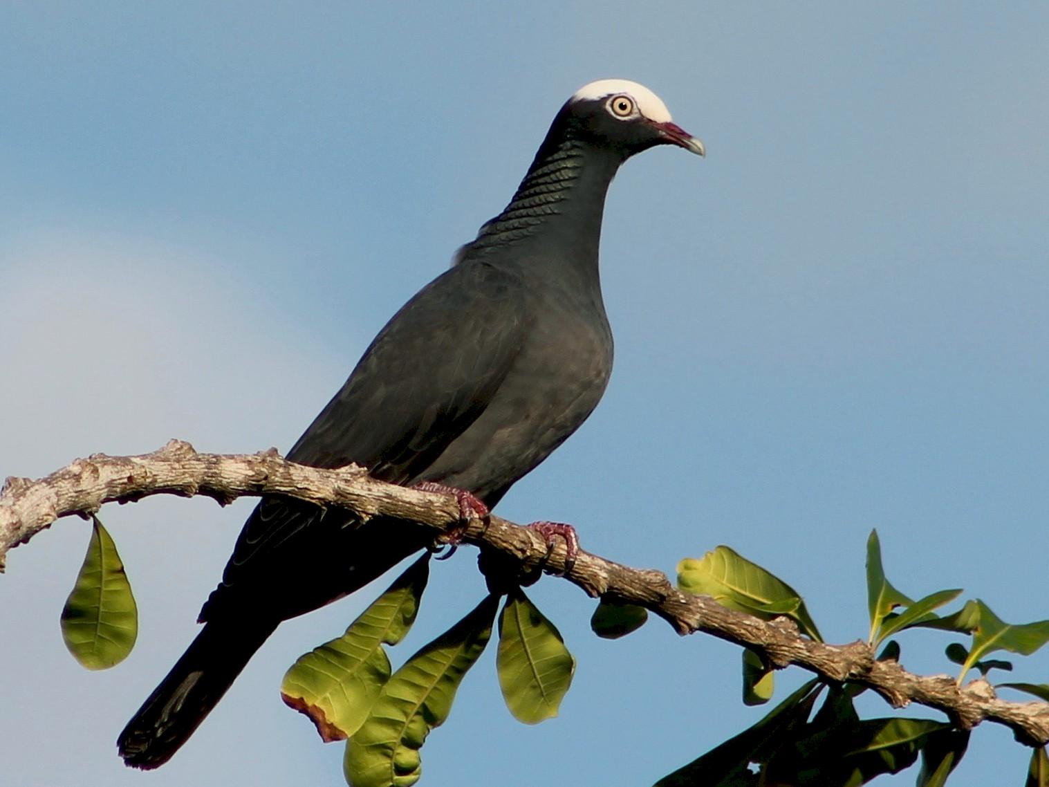 White-crowned Pigeon - Holly Kleindienst