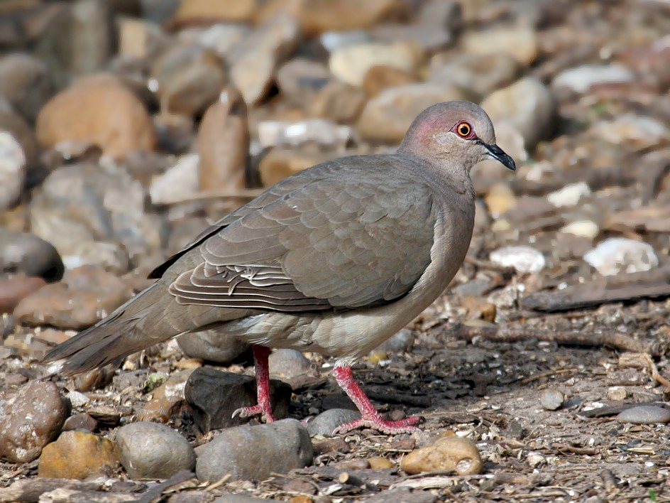 White-tipped Dove - Dick Dionne