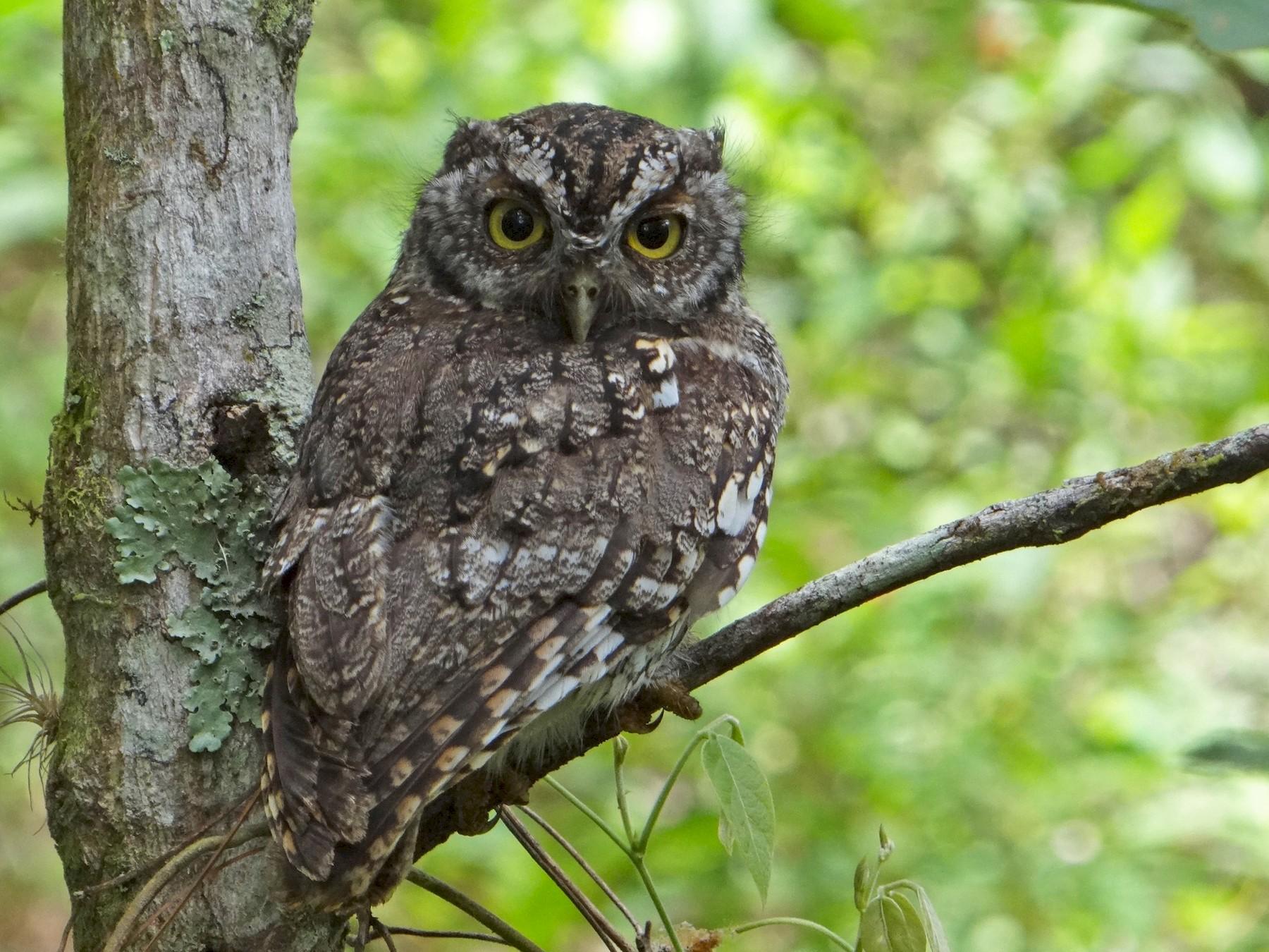Whiskered Screech-Owl - Eric van den Berghe