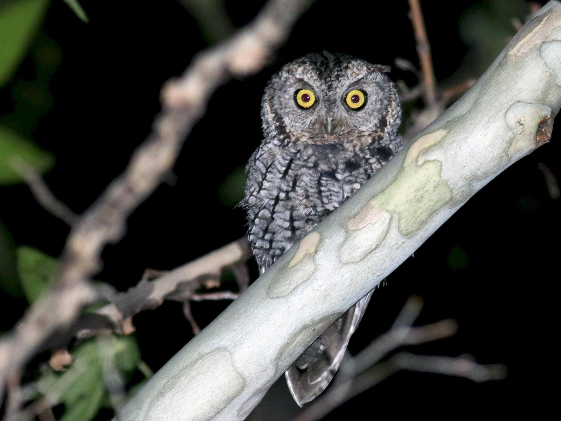 Whiskered Screech-Owl - Jay McGowan