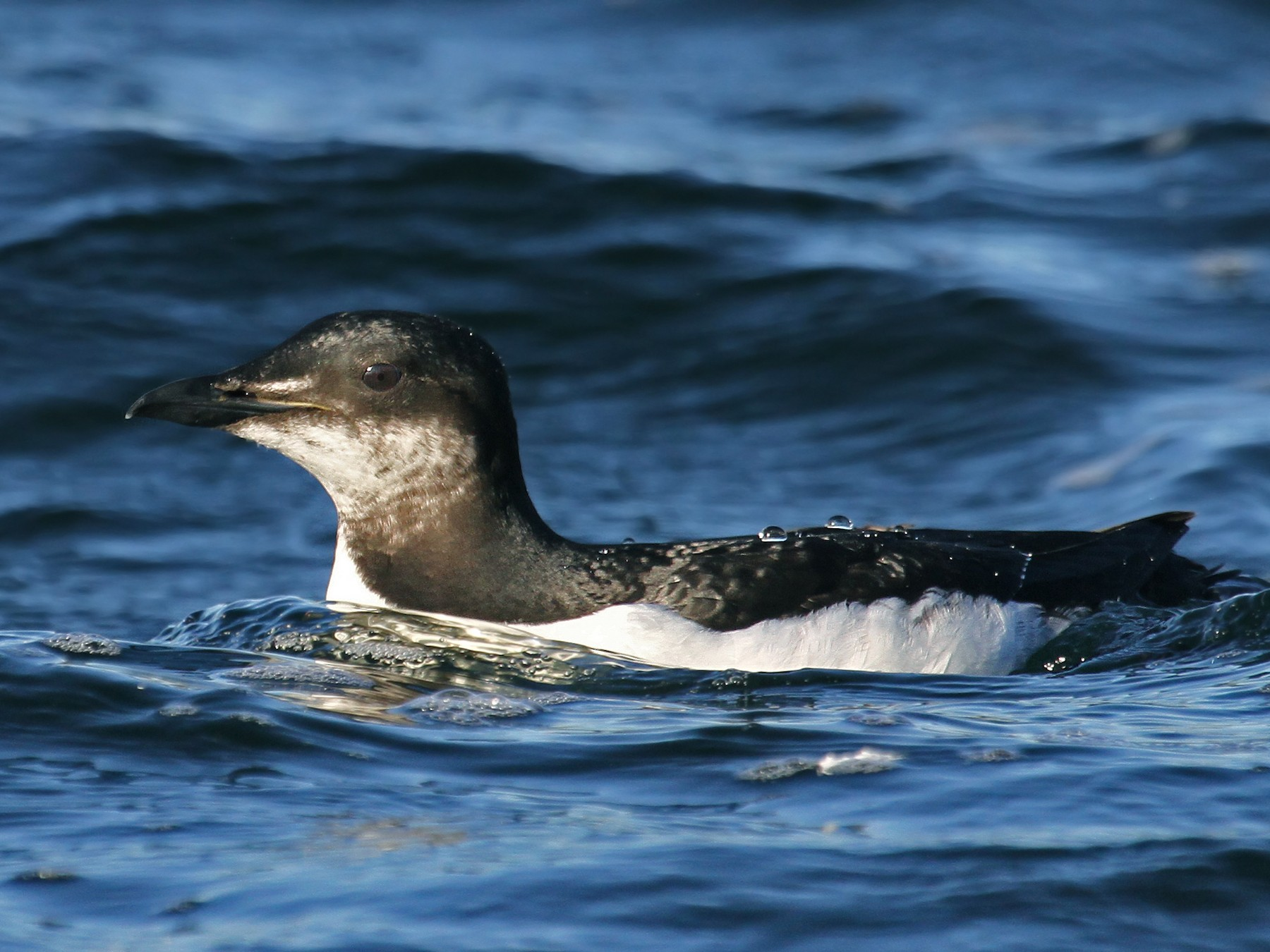 Thick-billed Murre - Ryan Schain