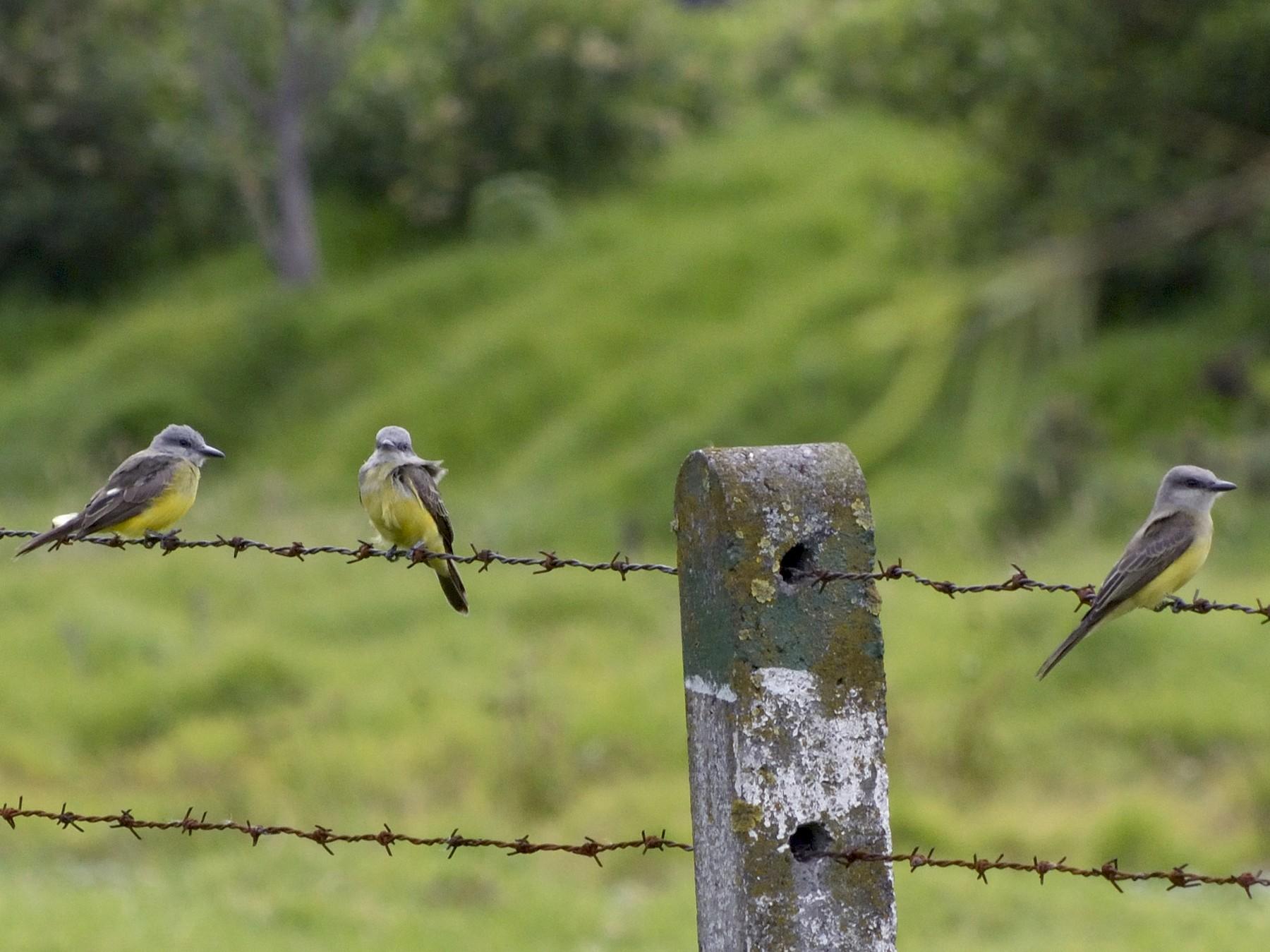 Tropical Kingbird - Dodo Colombia