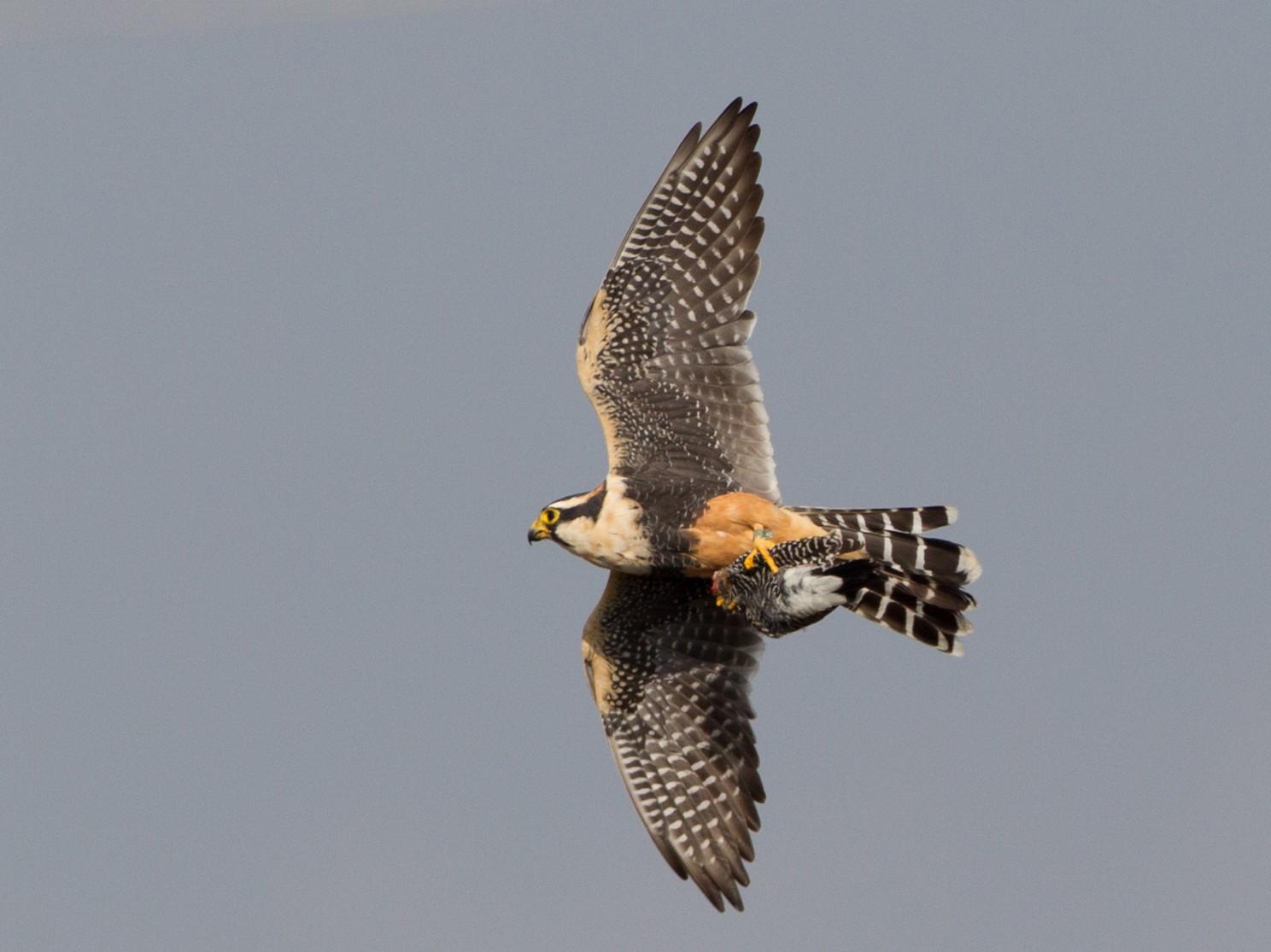 Aplomado Falcon - Brian Sullivan