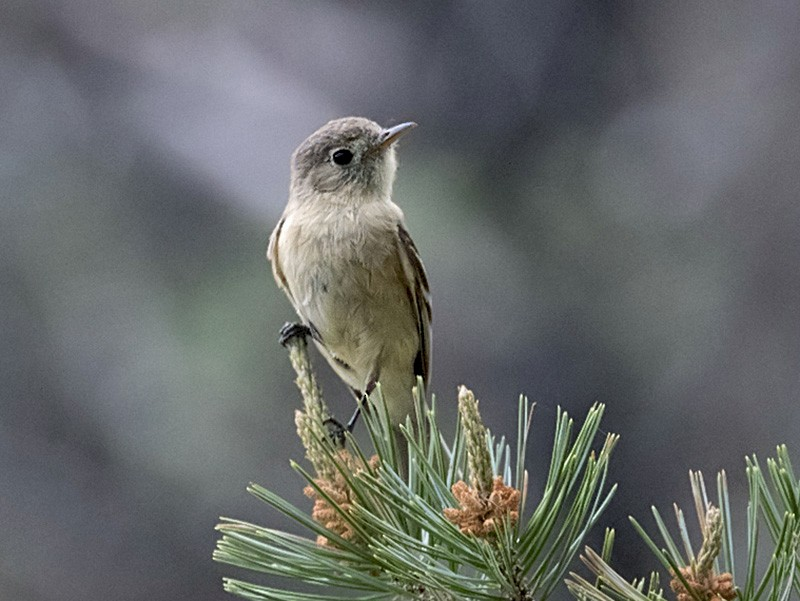 Buff-breasted Flycatcher - Anonymous eBirder