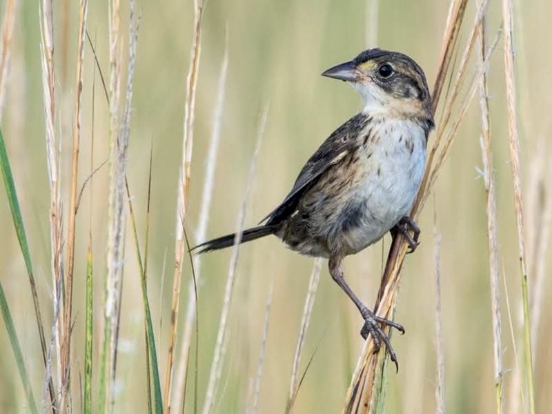 Seaside Sparrow - fide  R.Smith