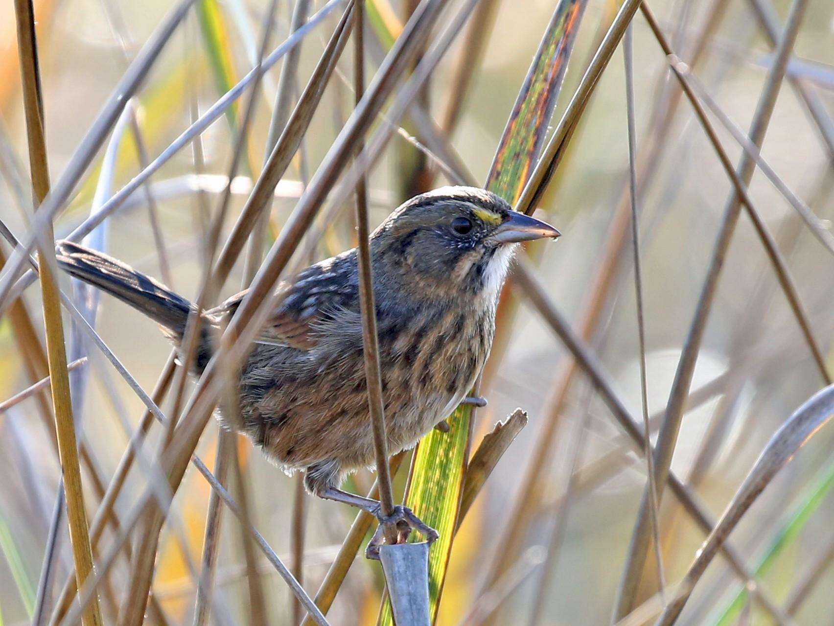 Seaside Sparrow - Laura Keene