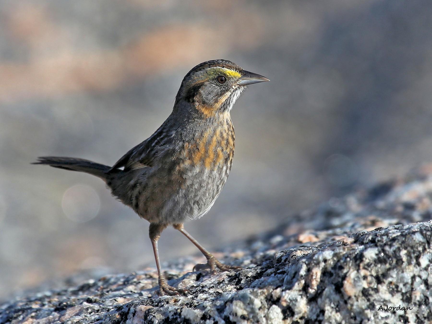 Seaside Sparrow - Andy Jordan