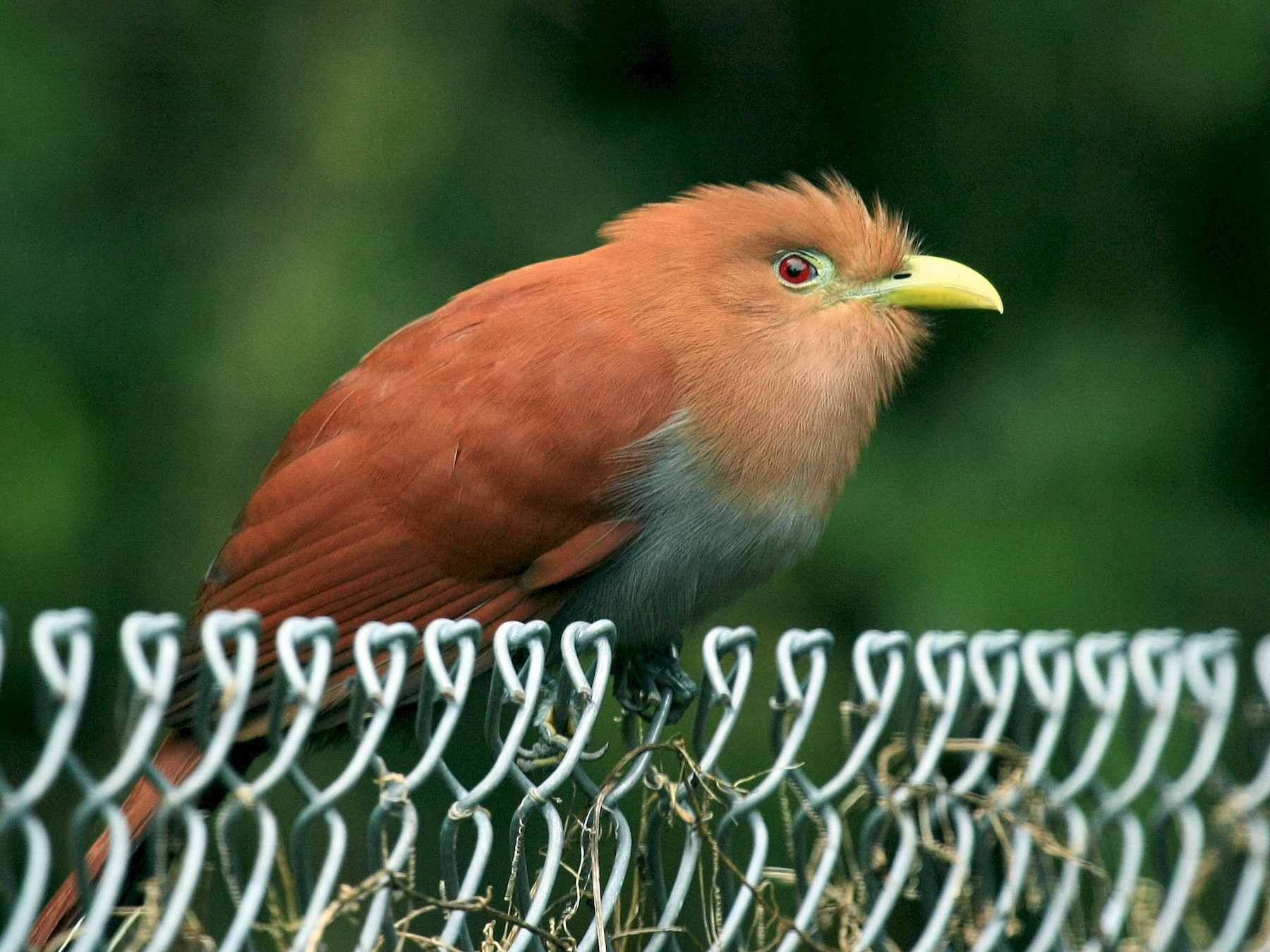Squirrel Cuckoo - Tim Lenz