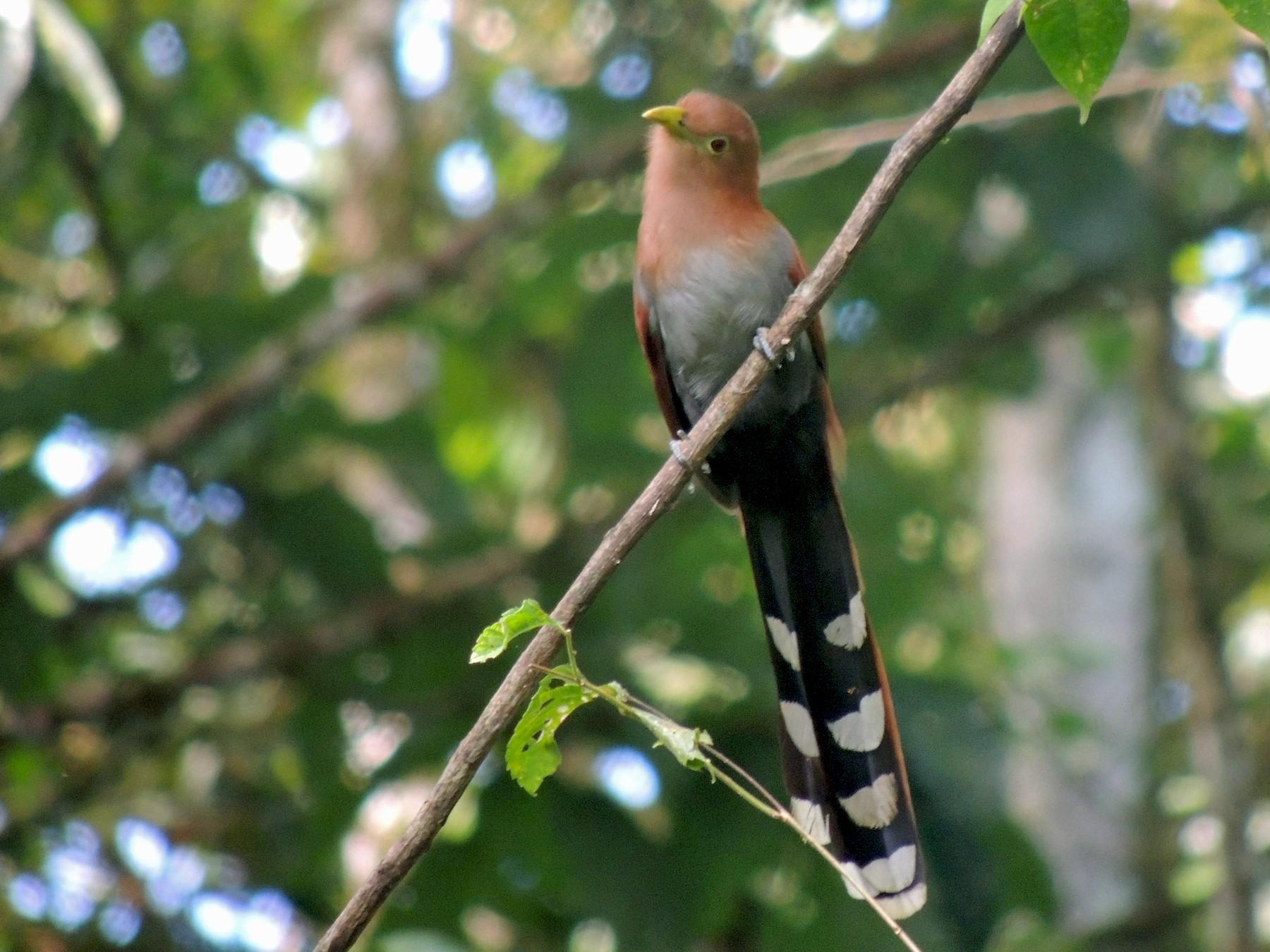 Squirrel Cuckoo - Judy Matsuoka