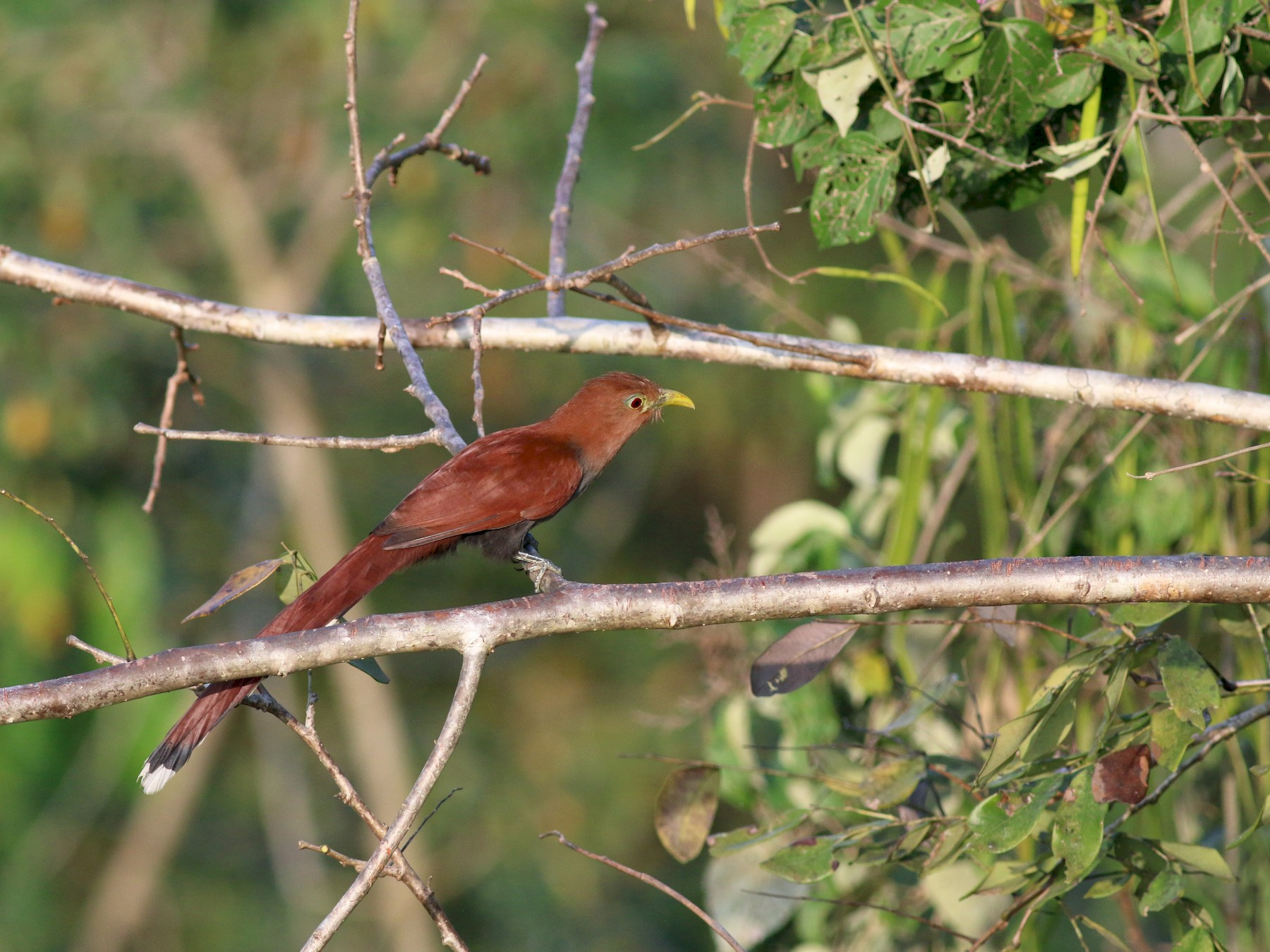 Squirrel Cuckoo - Oliver Burton