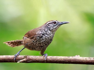 - Spot-breasted Wren
