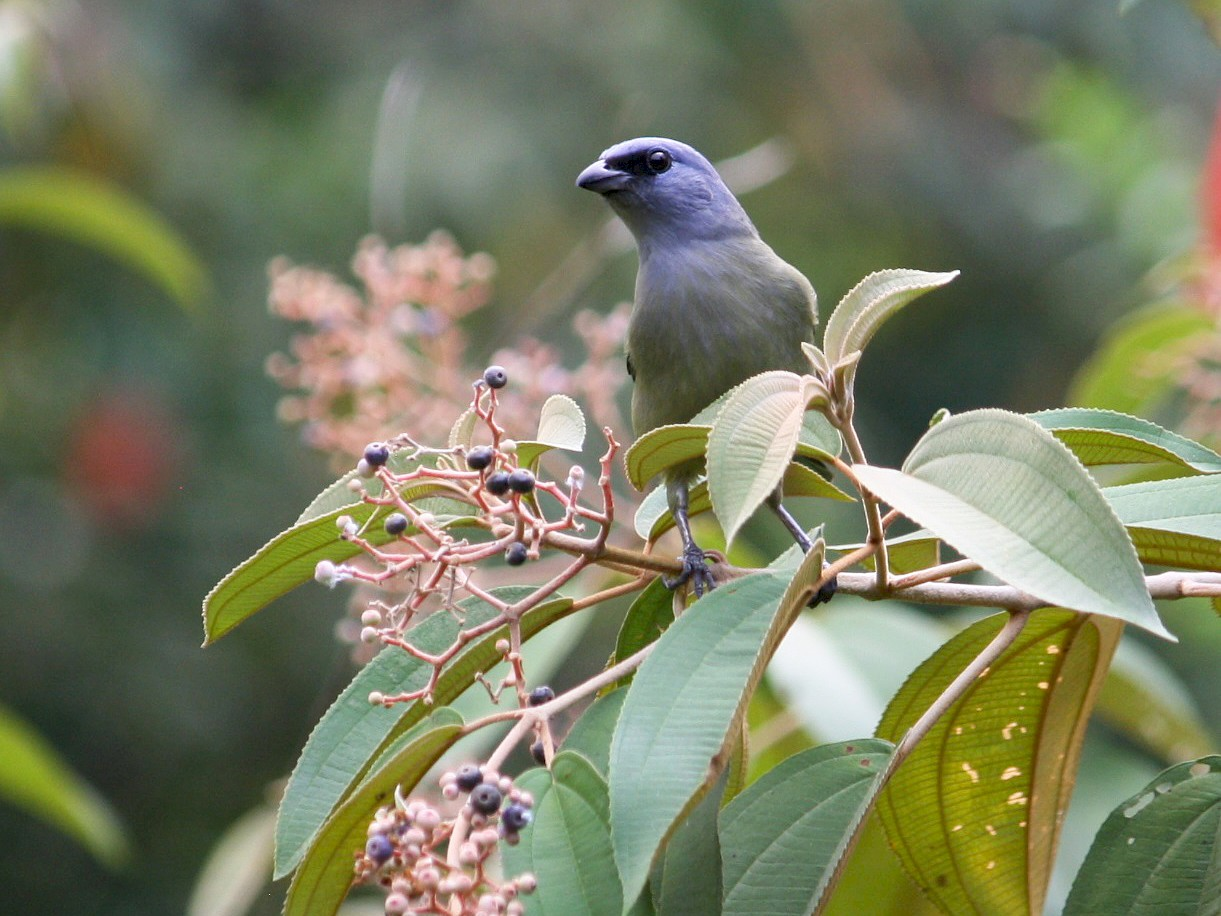 Yellow-winged Tanager - adam zions