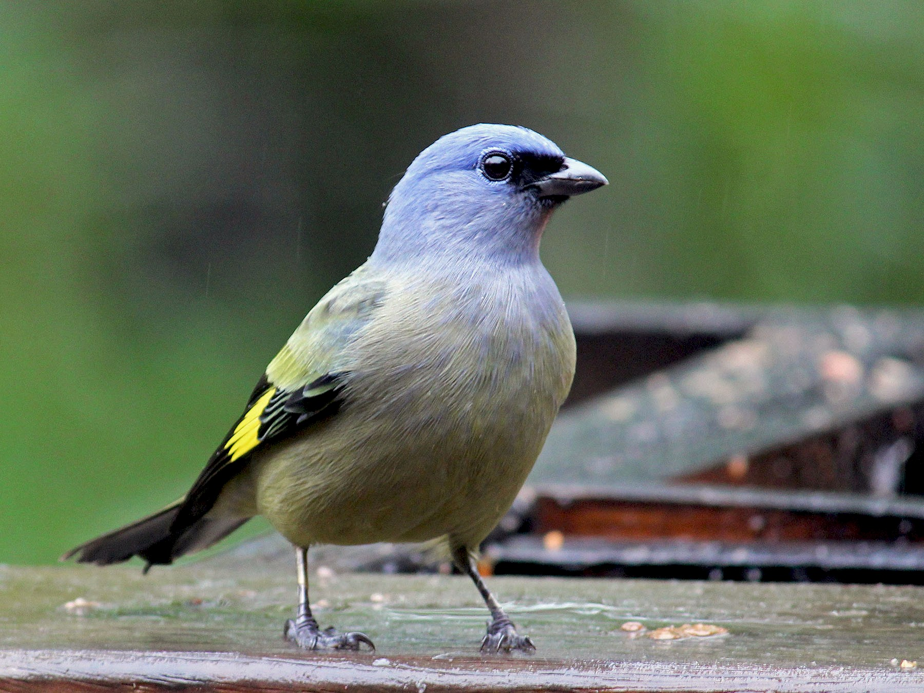 Yellow-winged Tanager - Charles Gates