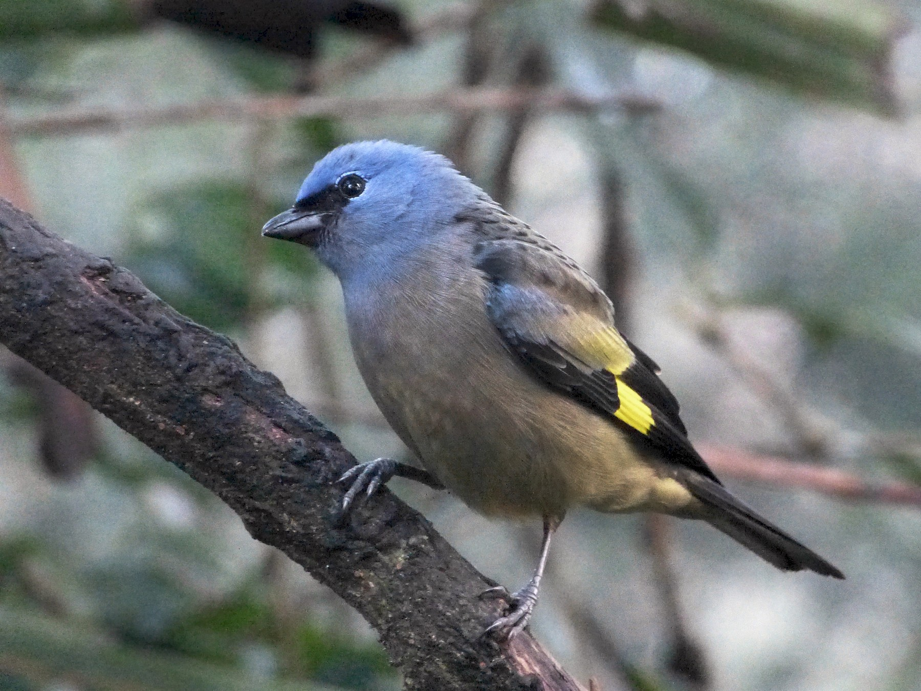 Yellow-winged Tanager - Shelley Rutkin