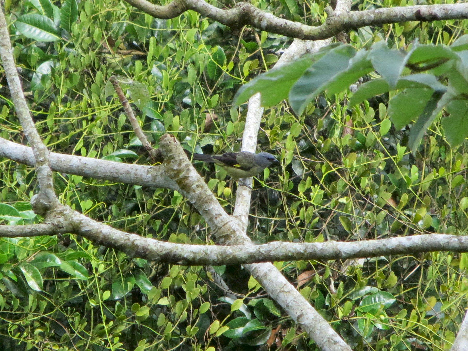 Yellow-winged Tanager - Shawn Loewen