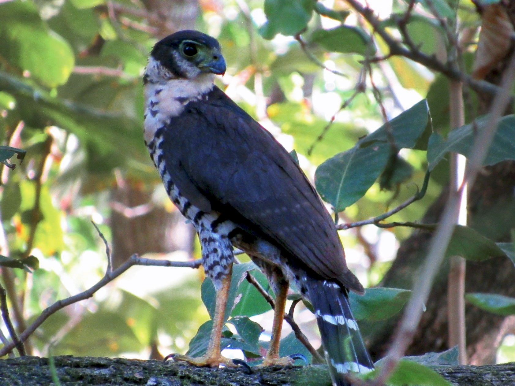 Collared Forest-Falcon - Jim Zook