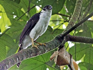- Collared Forest-Falcon