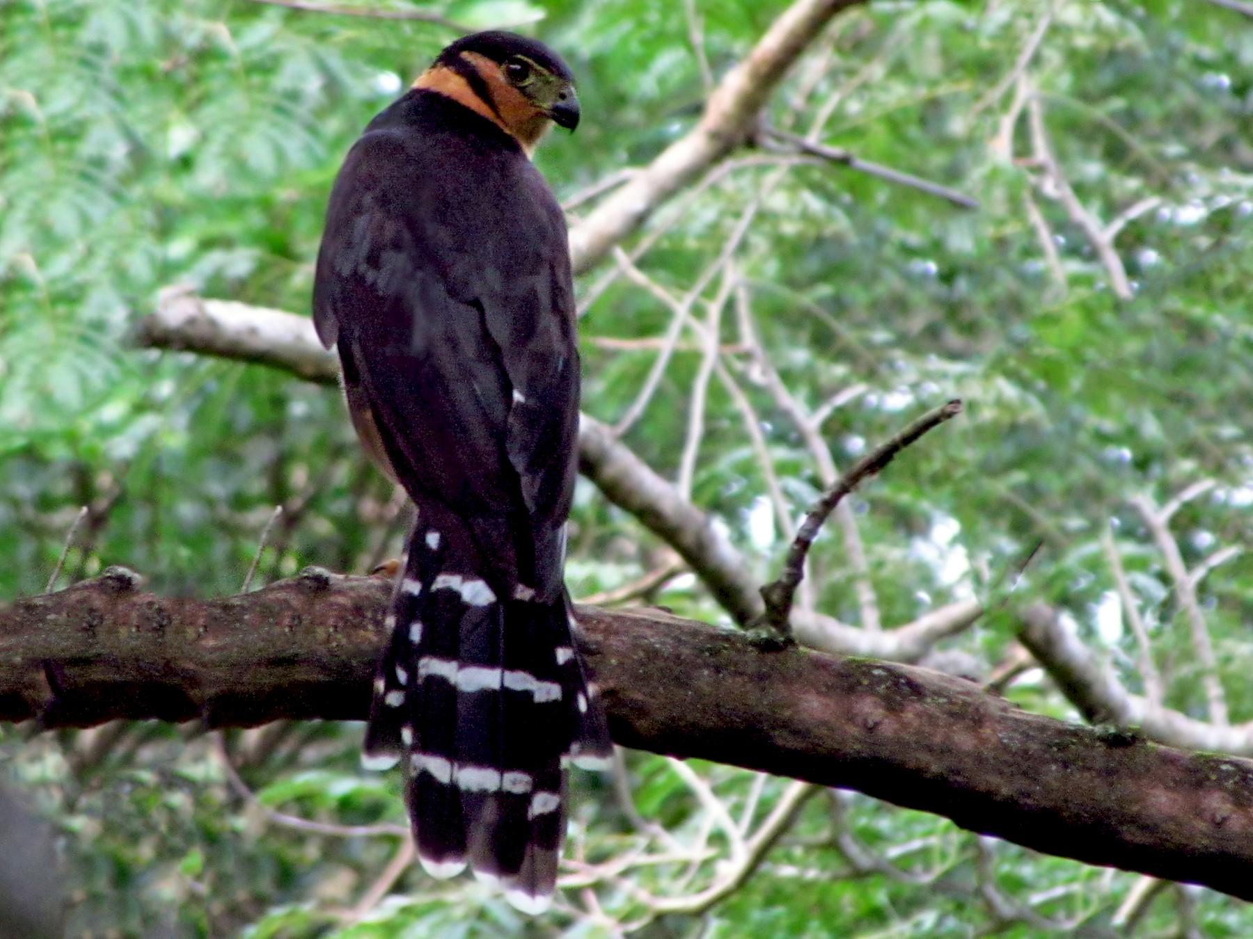 Collared Forest-Falcon - Fabricio Gorleri