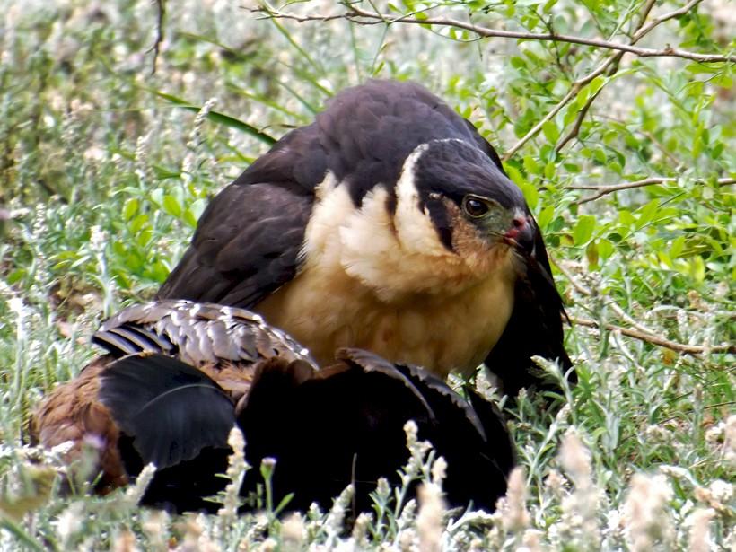 Collared Forest-Falcon - Carlos Cuñado Strelkov