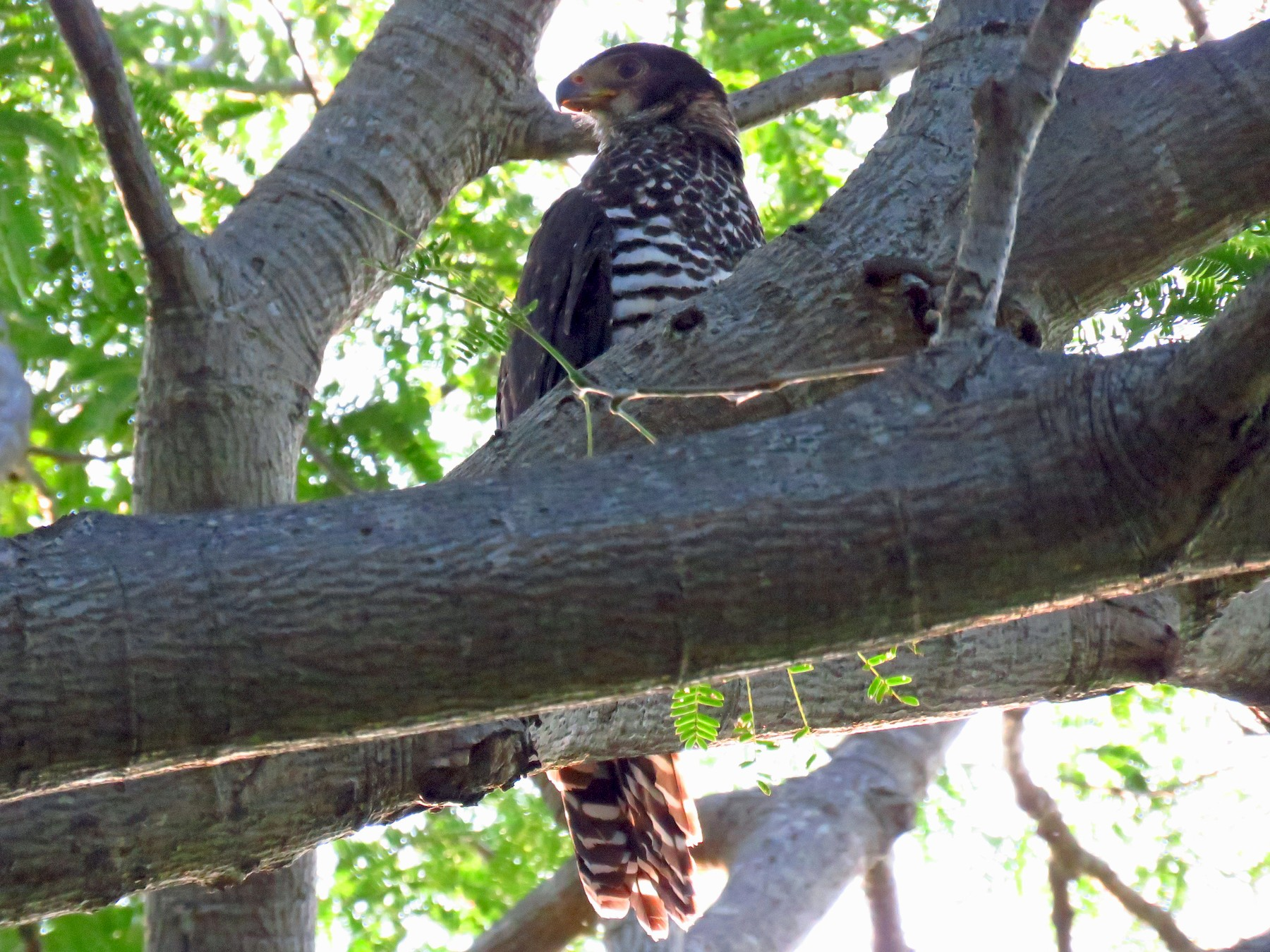 Collared Forest-Falcon - luis casado
