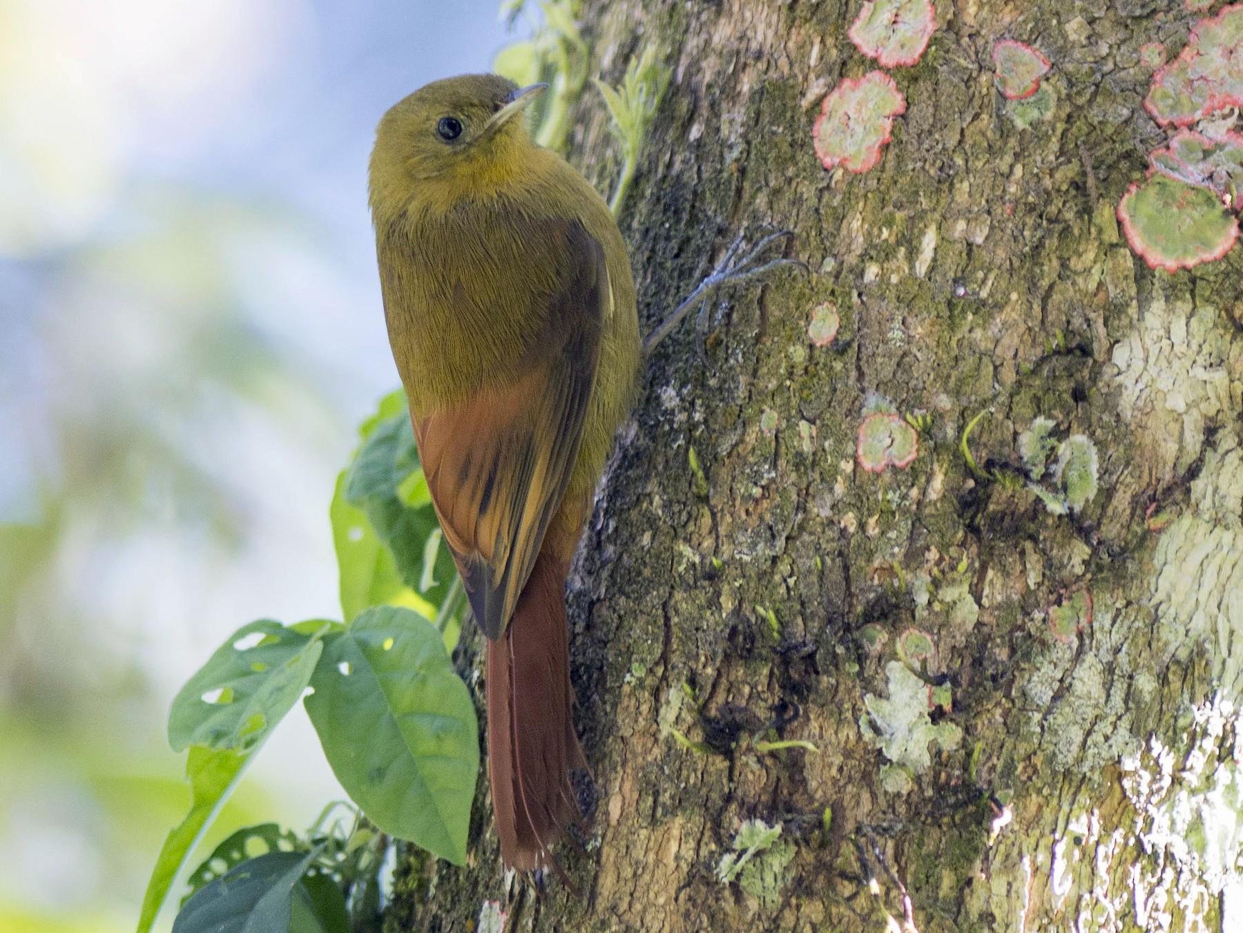 Olivaceous Woodcreeper - Hudson - BirdsRio